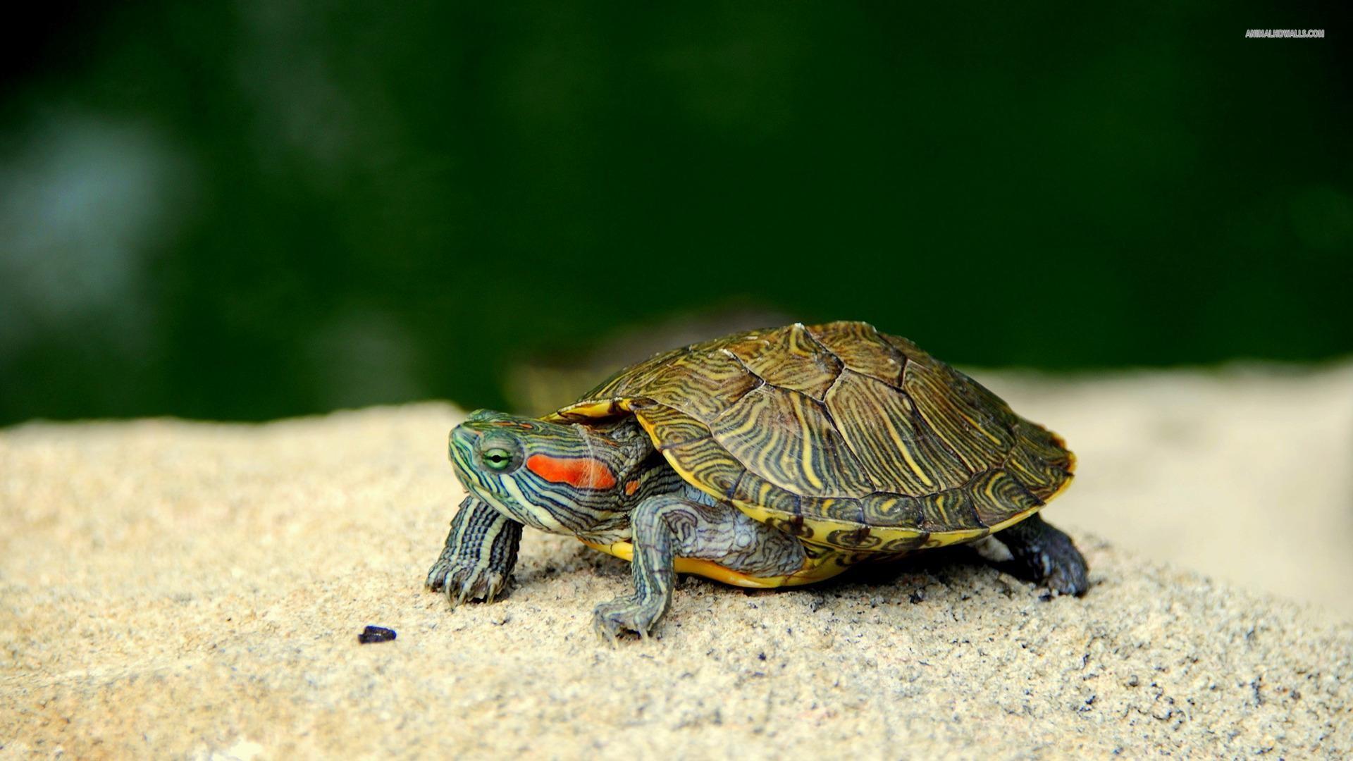 turtle-wallpaper-HD5-600×338