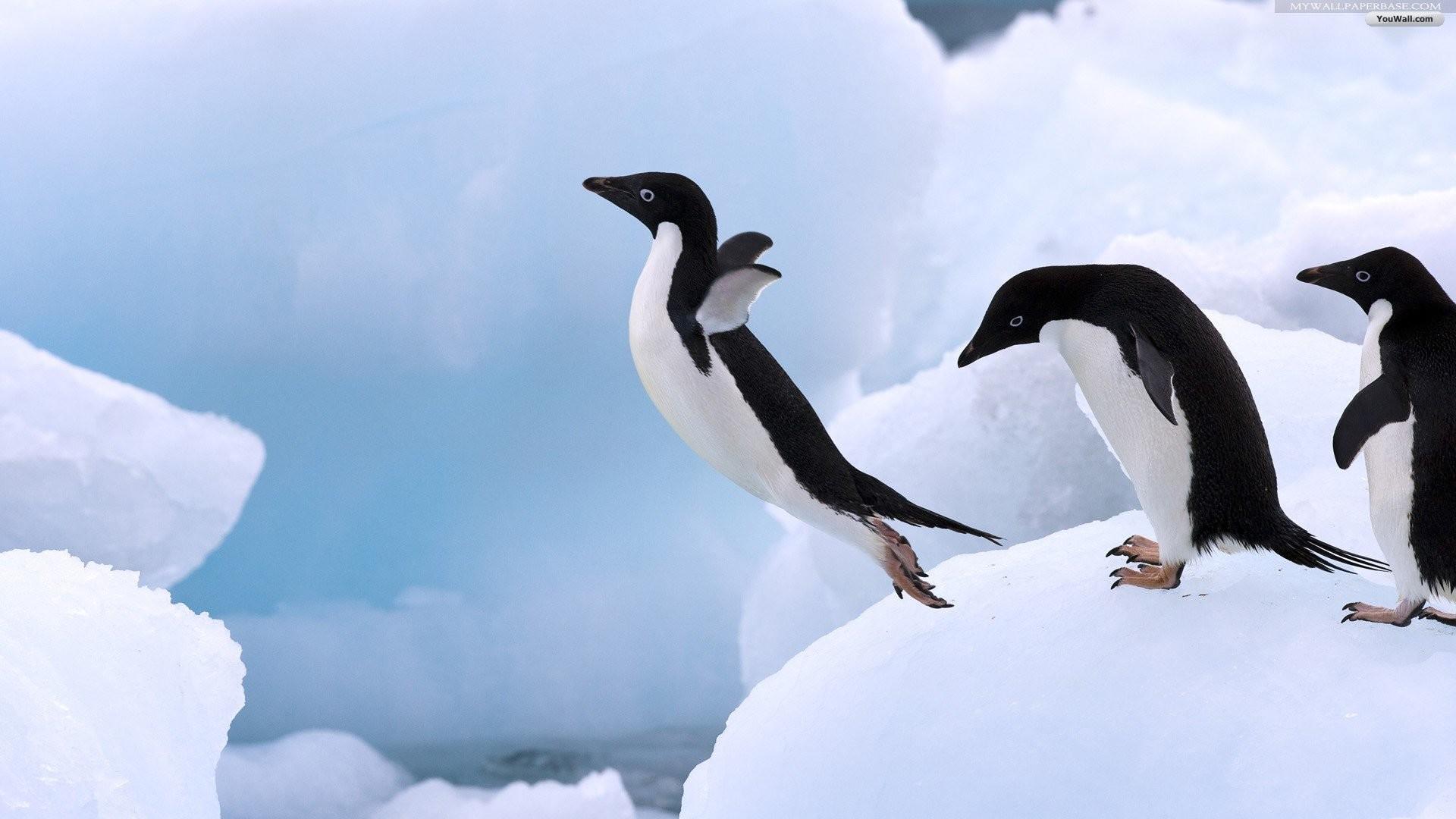 Penguin Wallpaper Full Hd …
