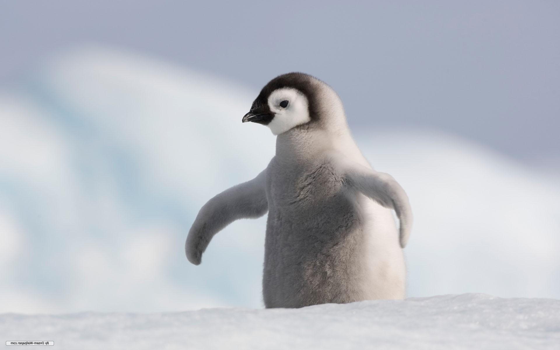 Baby Penguin wallpaper desktop