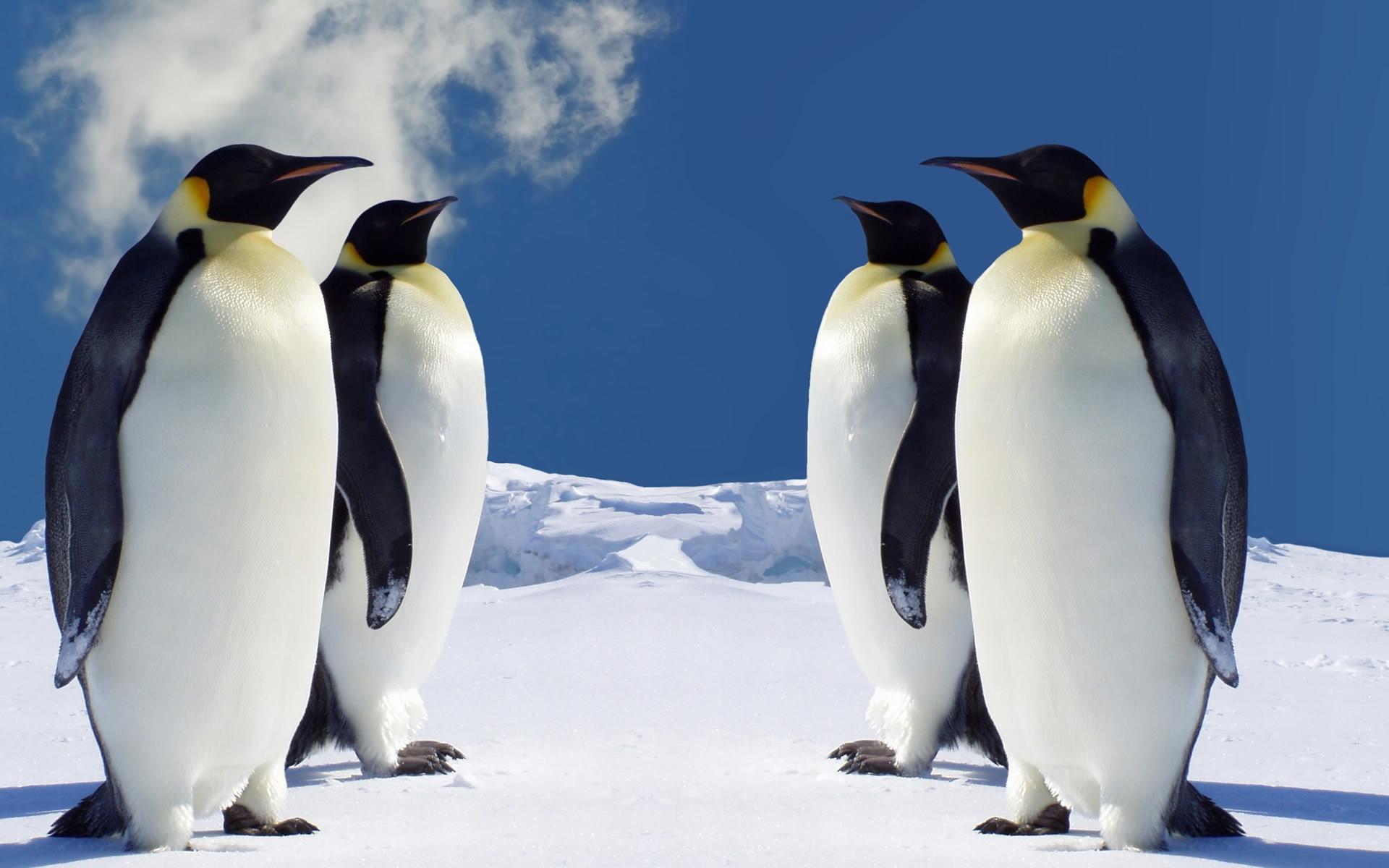 Download Free HD Penguin Wallpaper for Windows