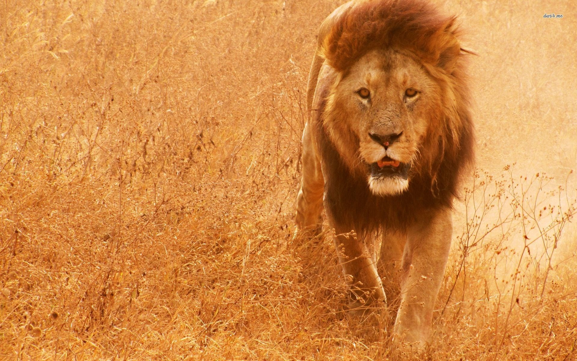 free screensaver wallpapers for lion