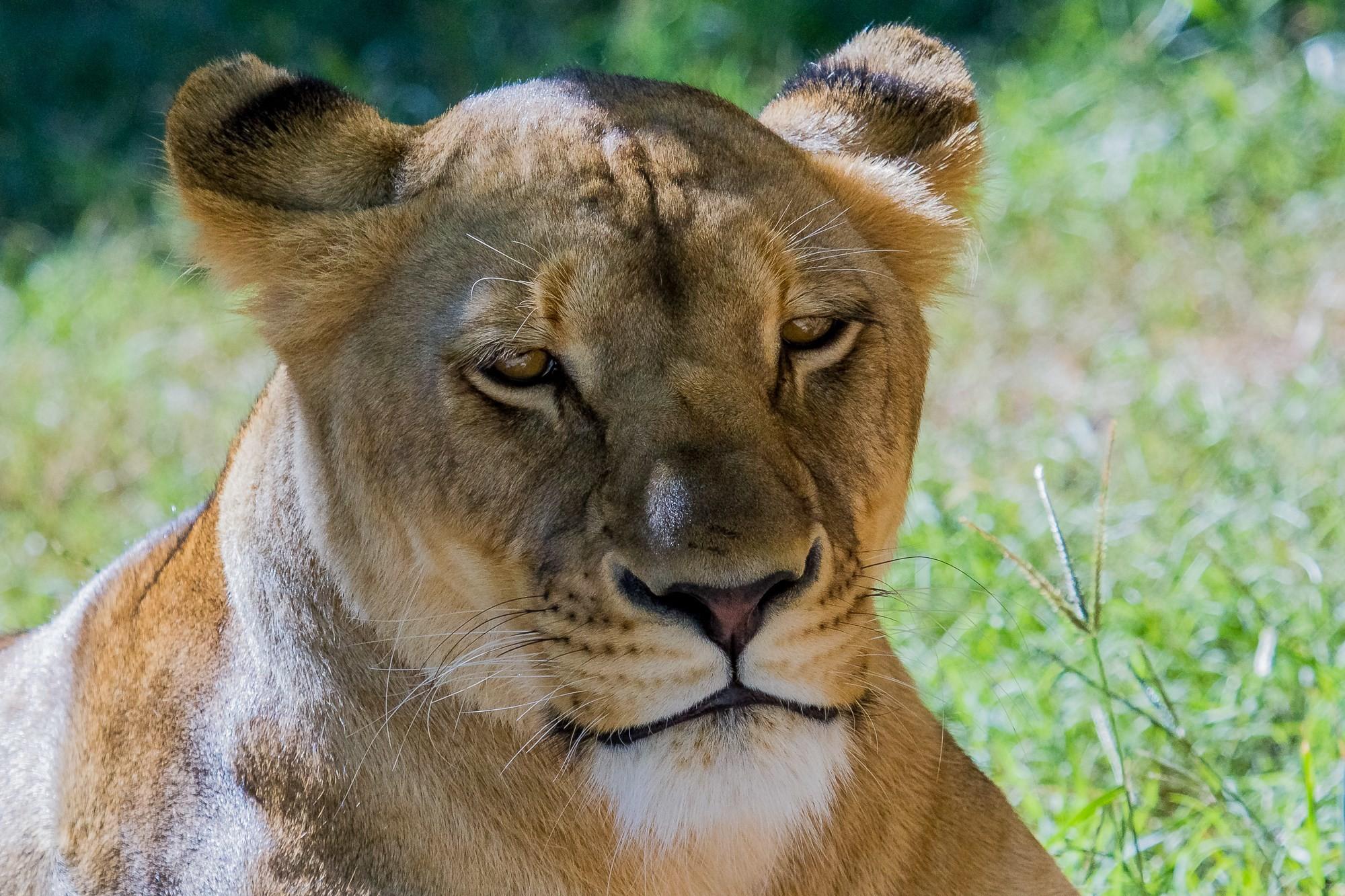 lion screensavers backgrounds, Winfred Sinclair 2017-03-05