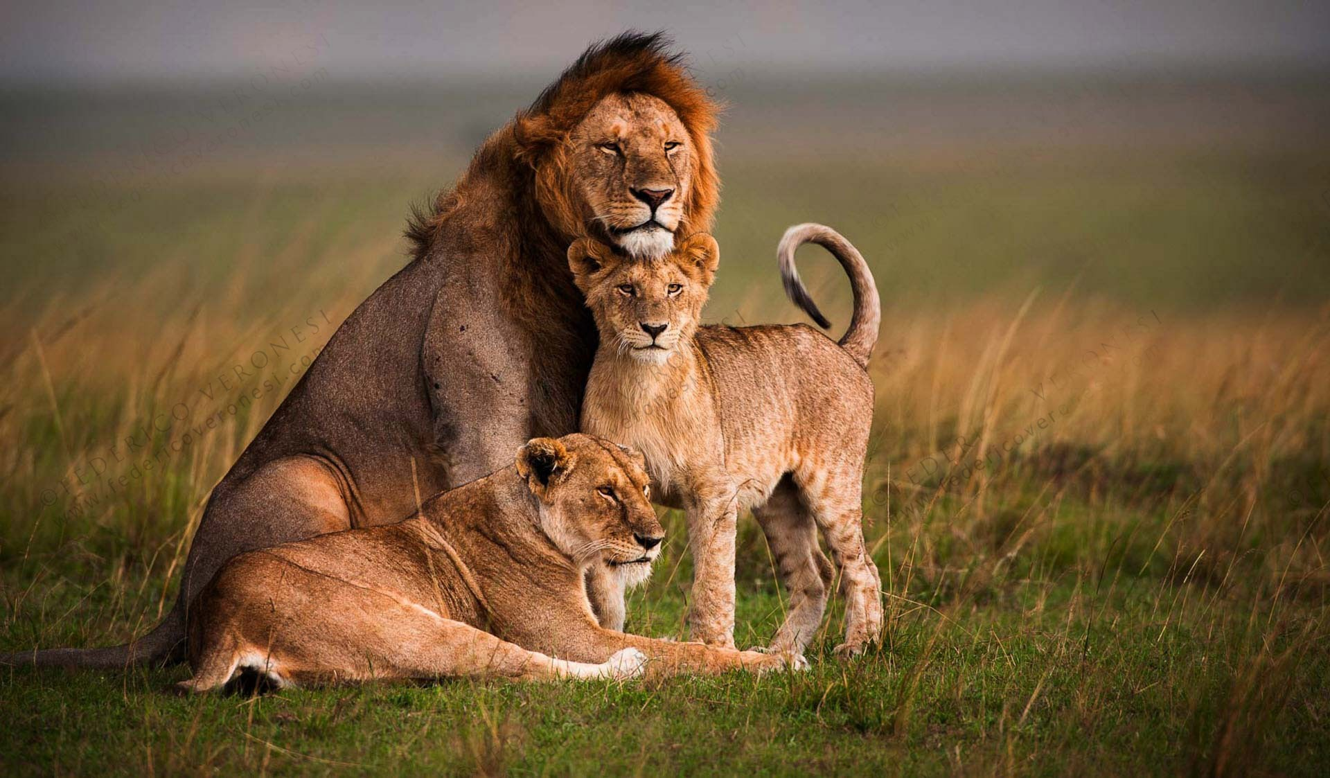 lion free wallpaper and screensavers