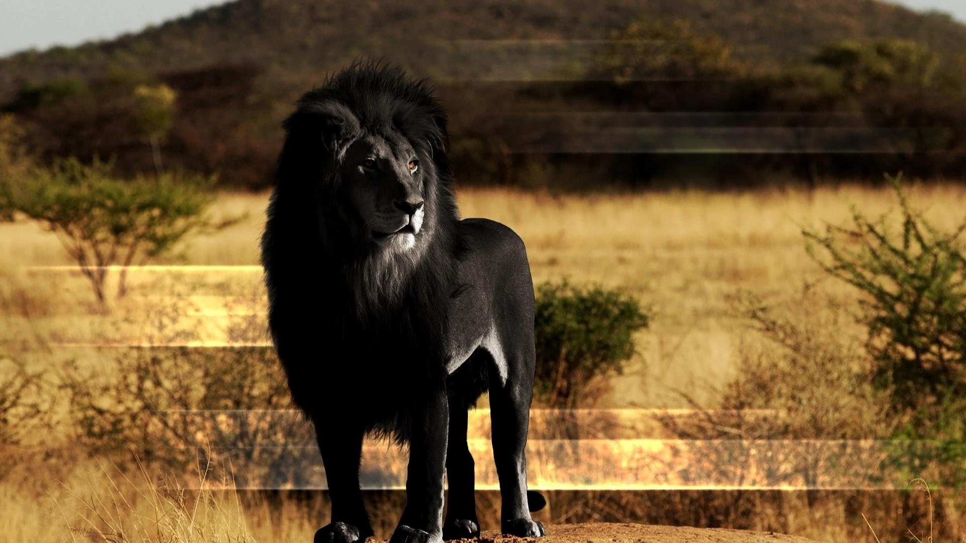 Preview wallpaper lion, black lion, mane, rock 1920×1080