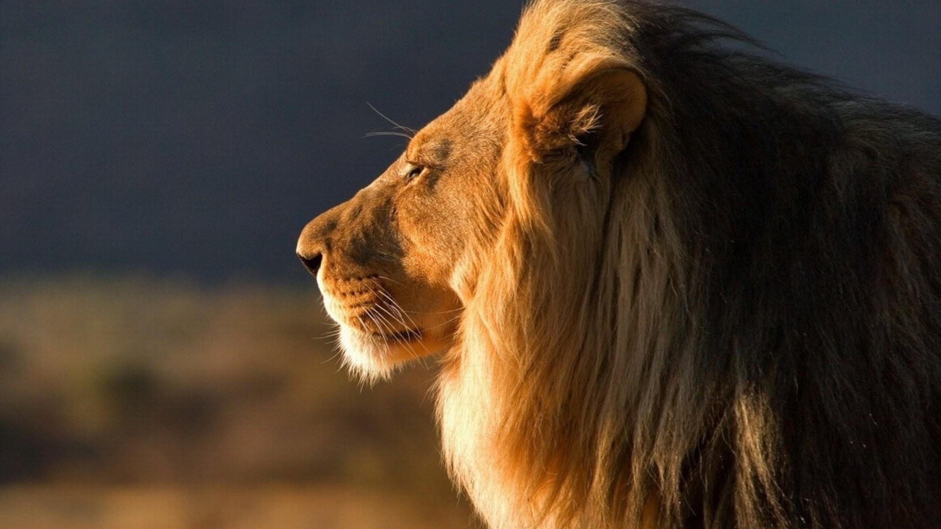 Lion Close Up free Screensaver wallpaper
