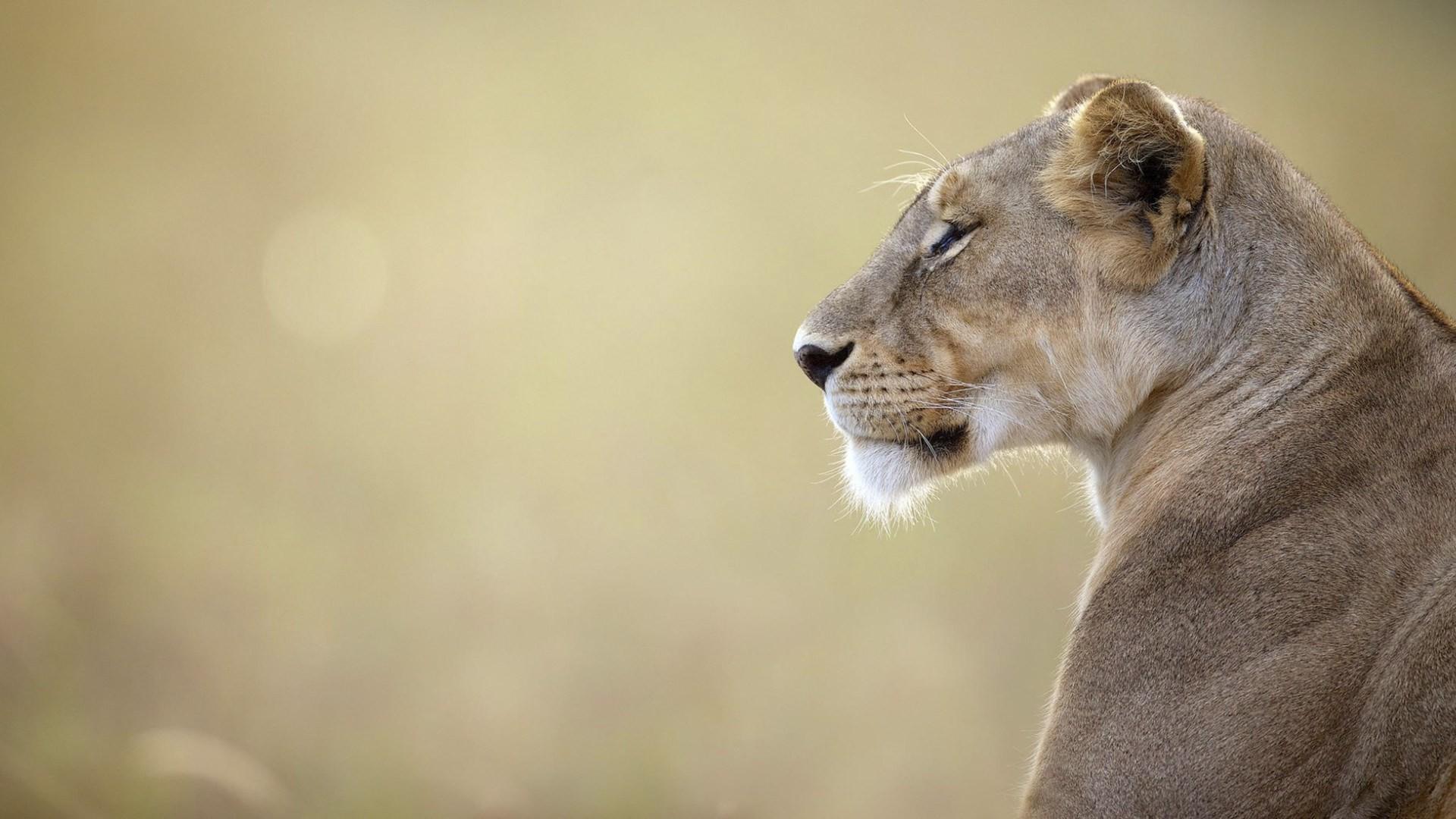 lion screensavers backgrounds – lion category