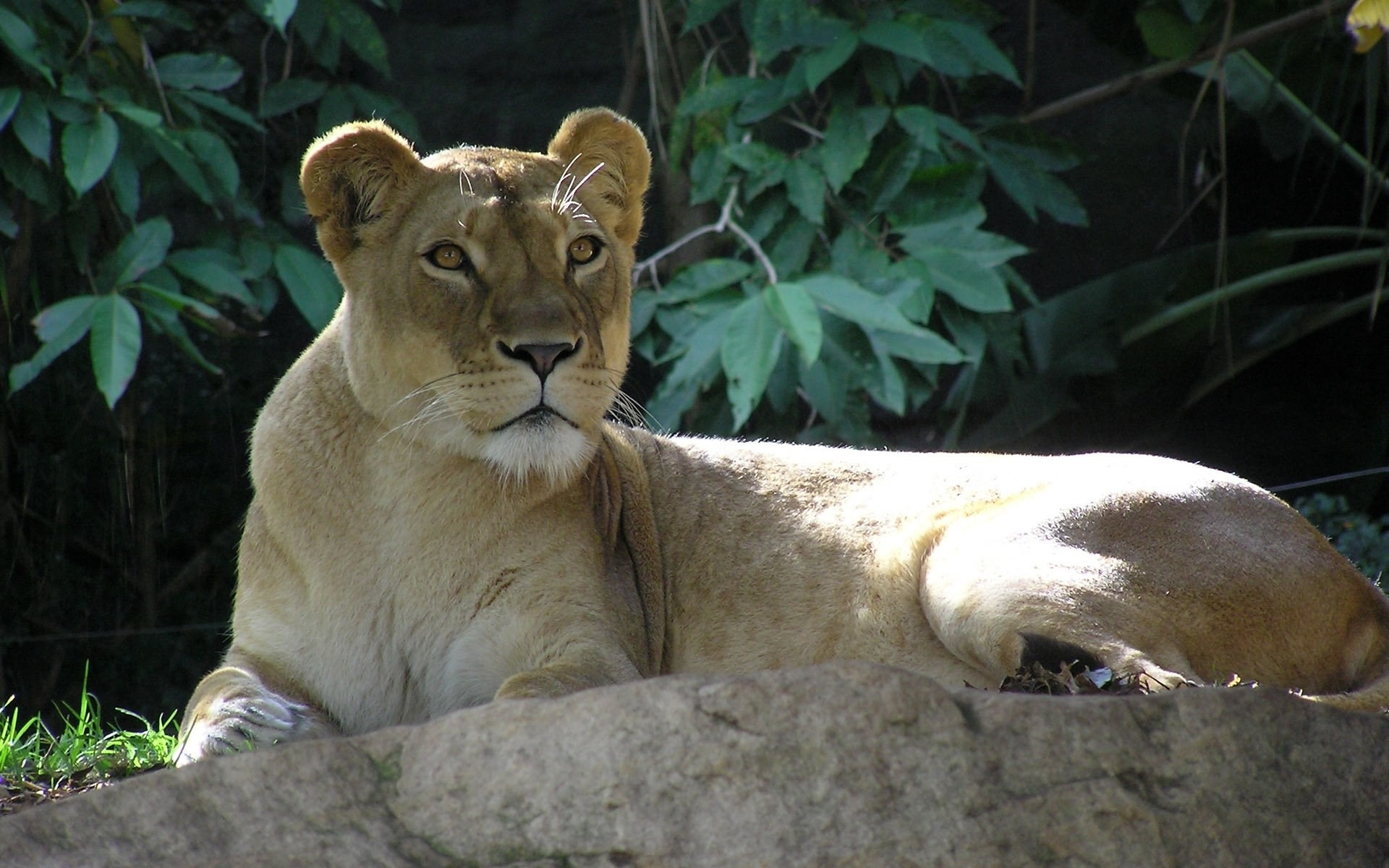 lion screensavers backgrounds (Javonte Blare 1920×1200)