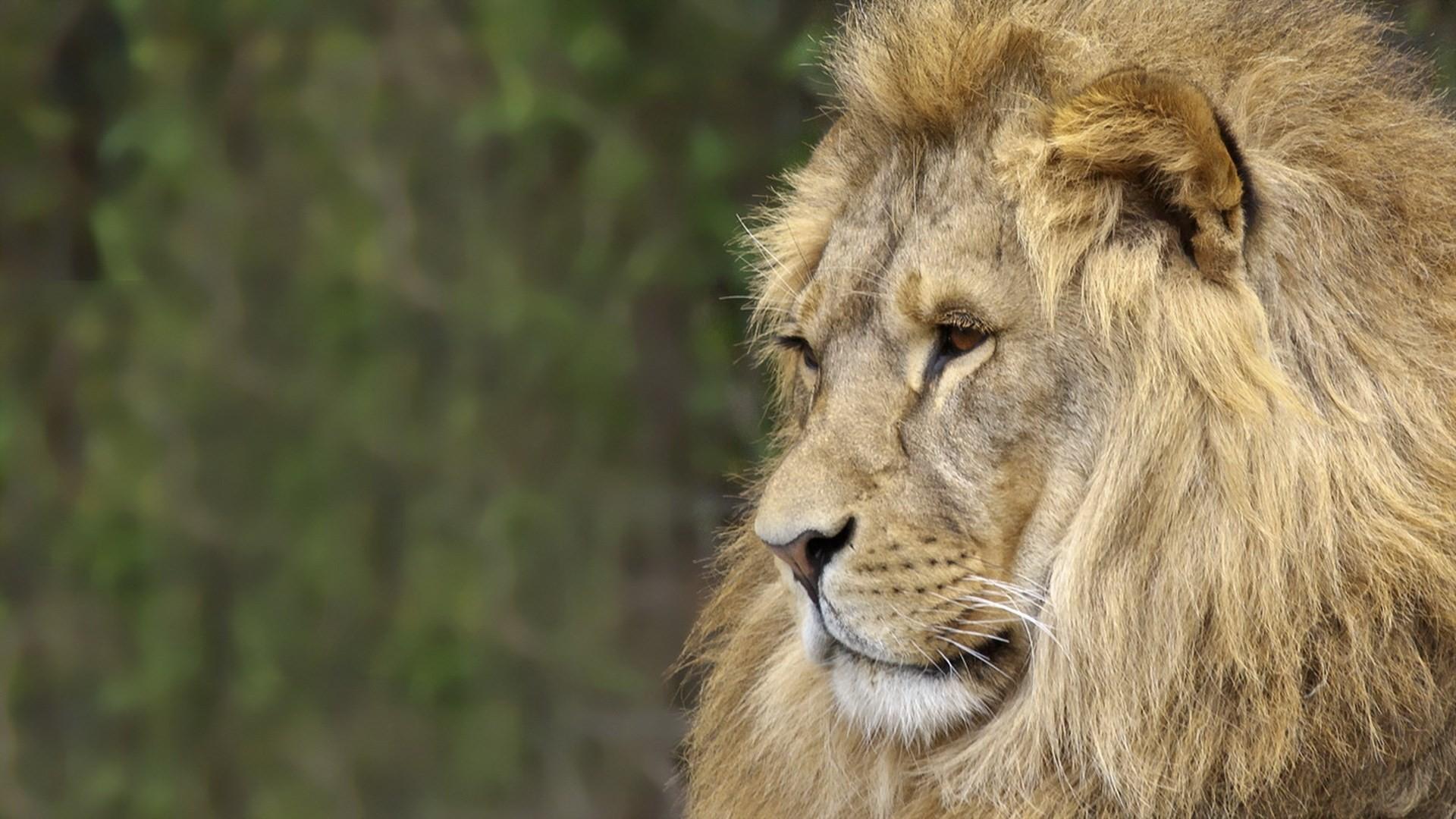 free wallpaper and screensavers for lion (Jamar Nail 1920×1080)