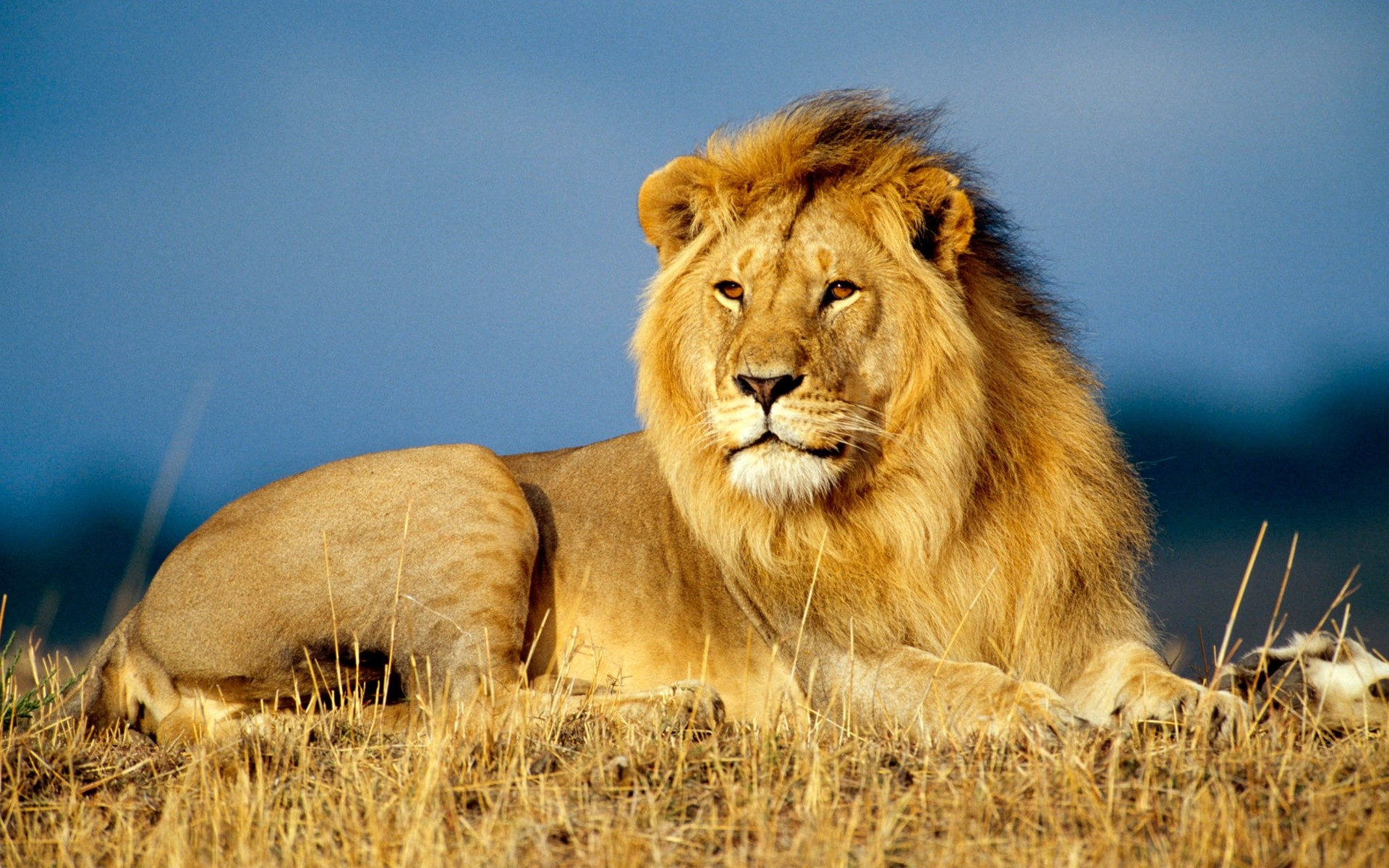African Lion King African Lion King · Real Artists Dont Make Wallpapers