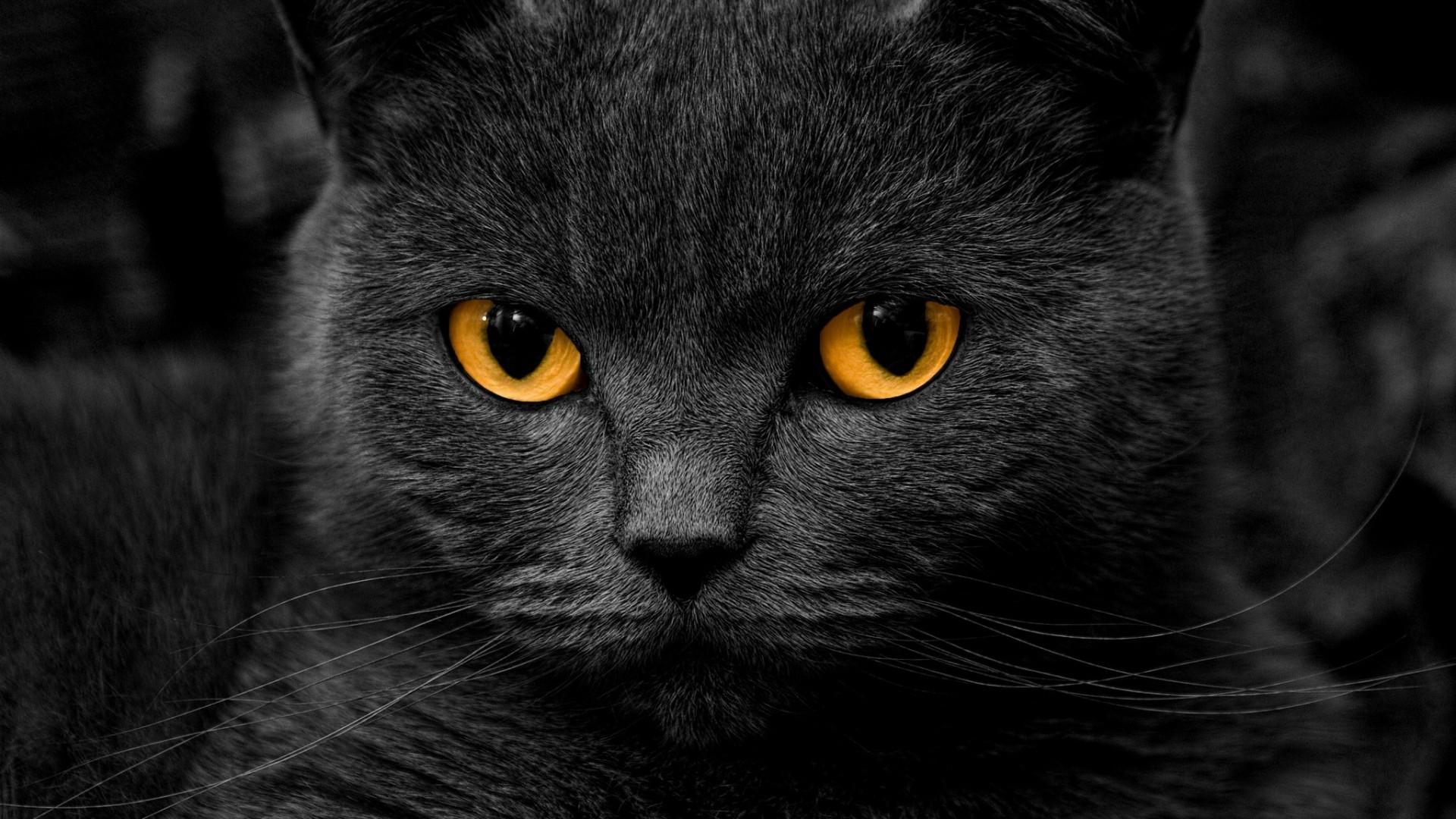 Wallpaper cat, british, eye