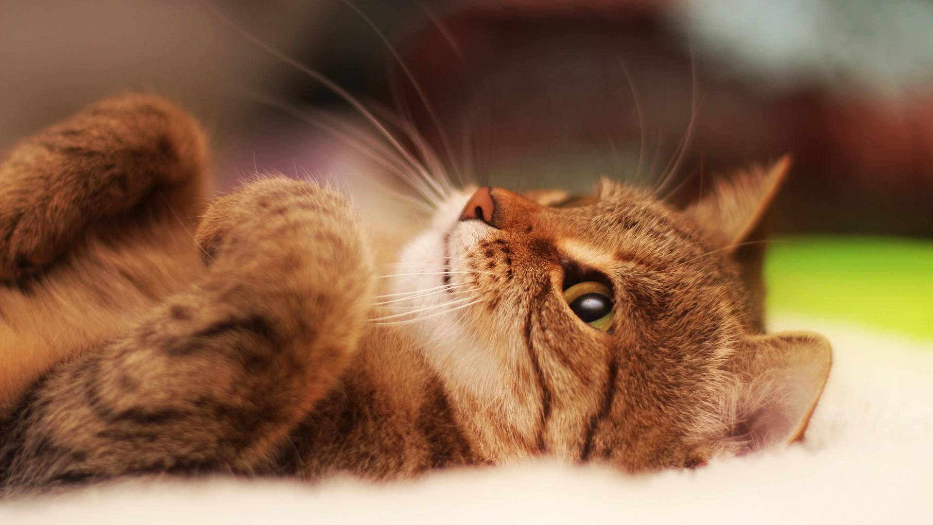 Wallpaper cat, lying, cool cat, beautiful cat