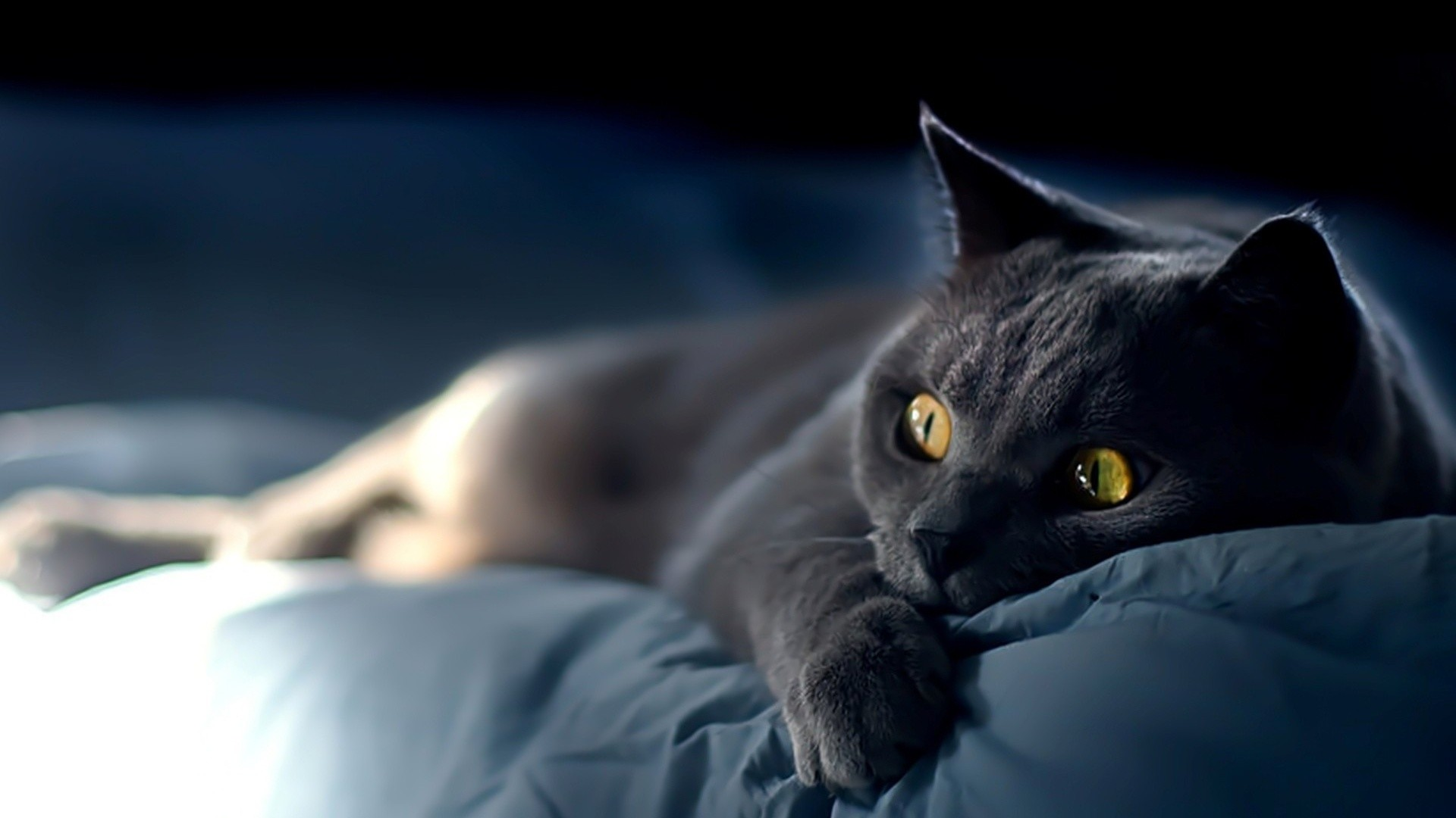Cat on blue sheets. How to set wallpaper on your desktop? Click  the download link from above and set the wallpaper on the desktop from your  OS.