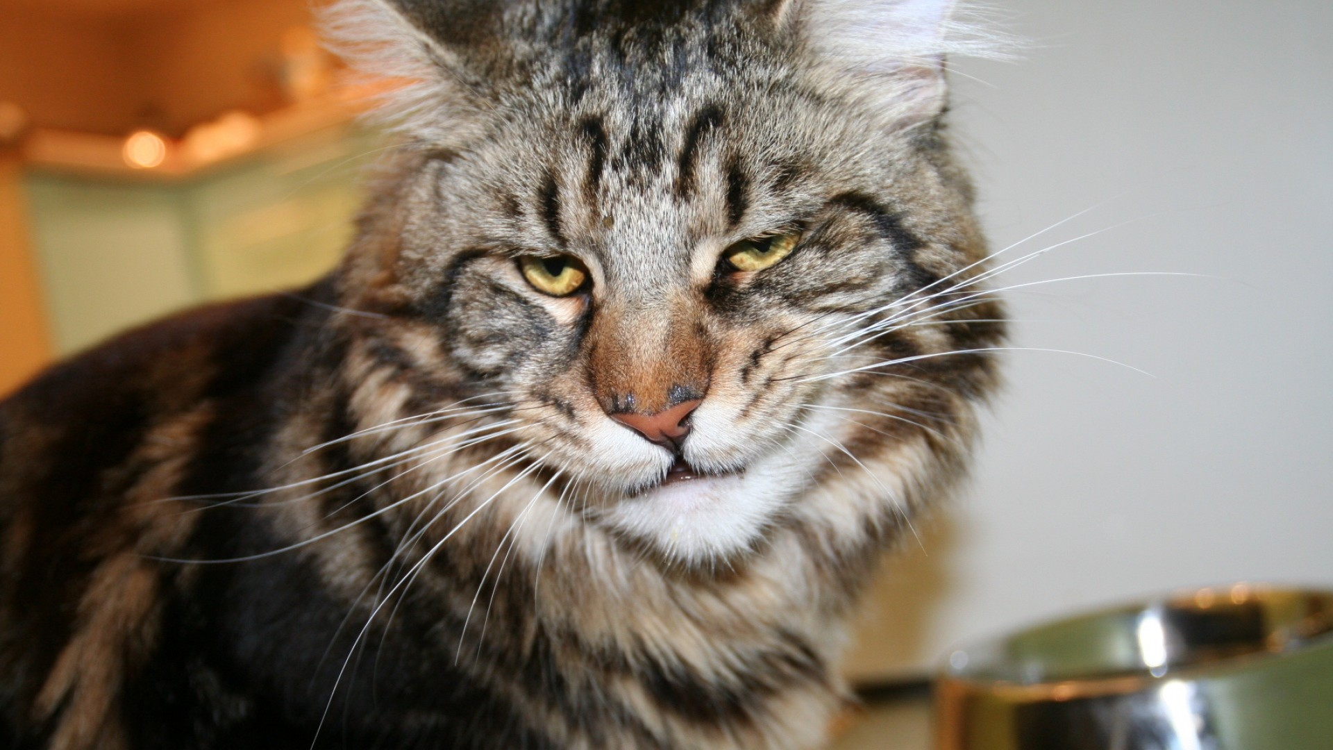 Wallpaper cat, maine coon, face, frustration
