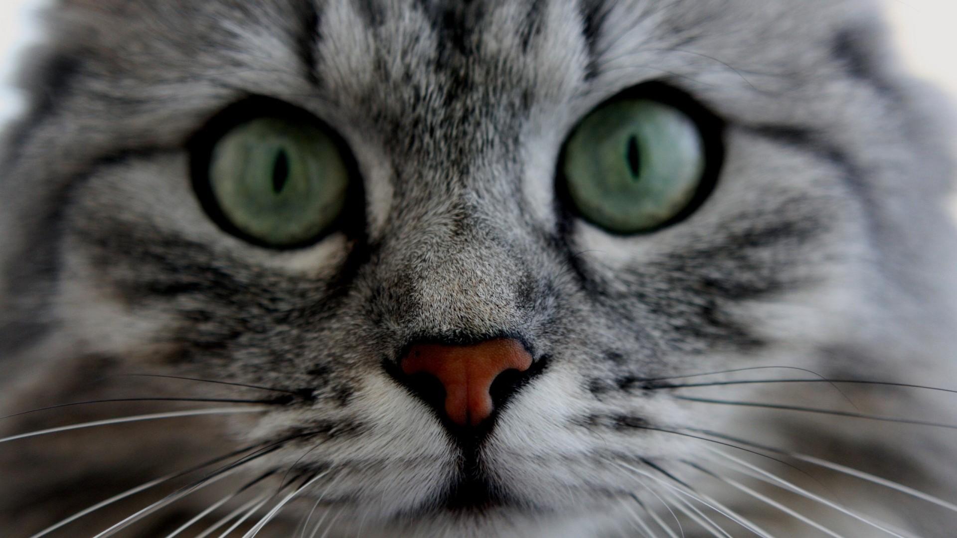 Wallpaper cat, face, eyes, gray, fluffy, cute