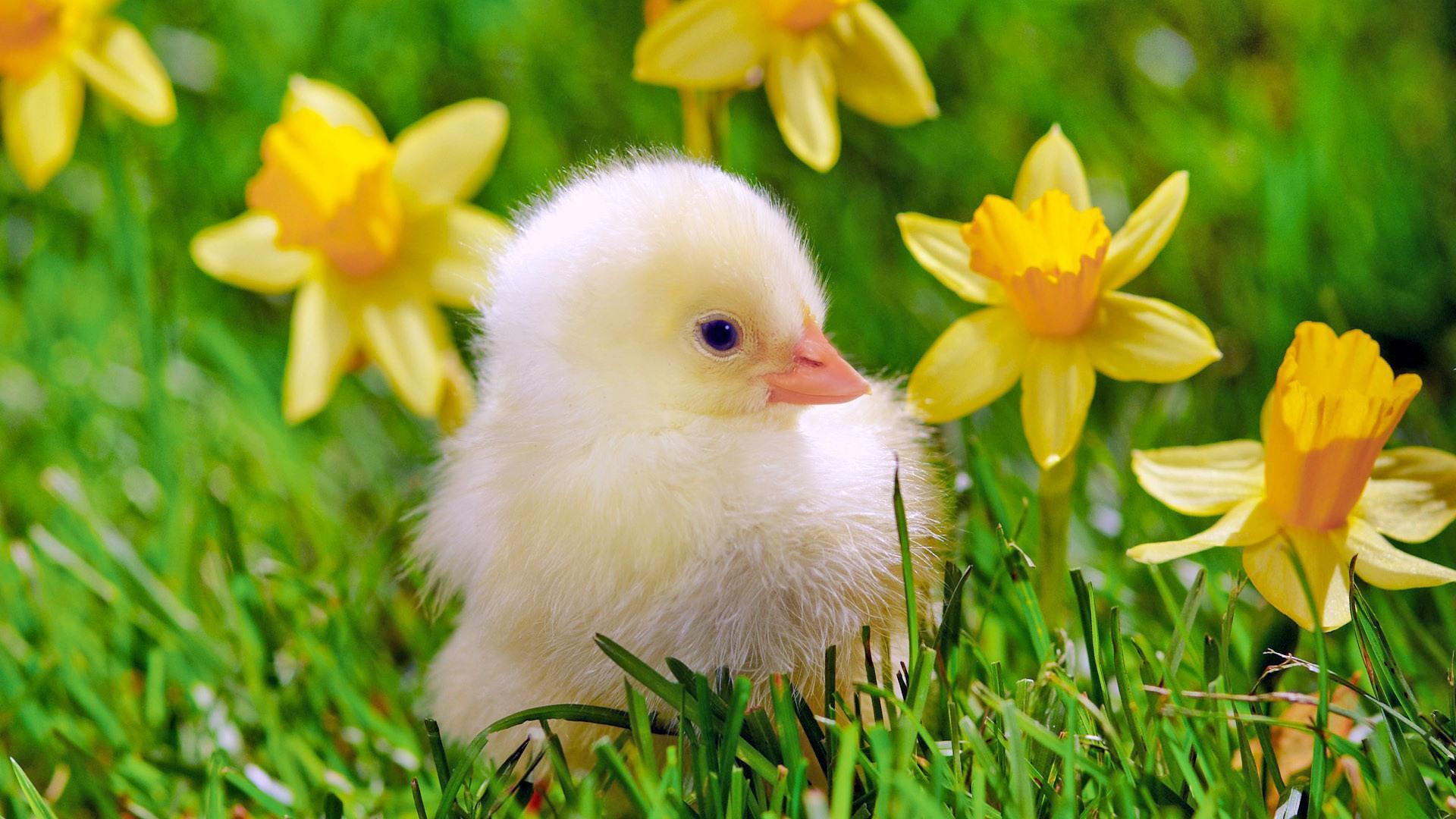 Baby Chicks HD Wallpapers | Download Free Desktop Wallpaper Images .