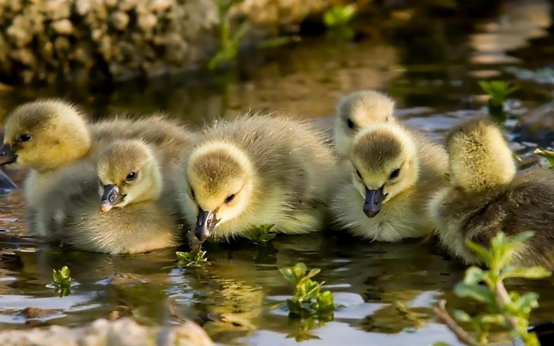bird Baby Ducks Wallpapers | HD Wallpapers