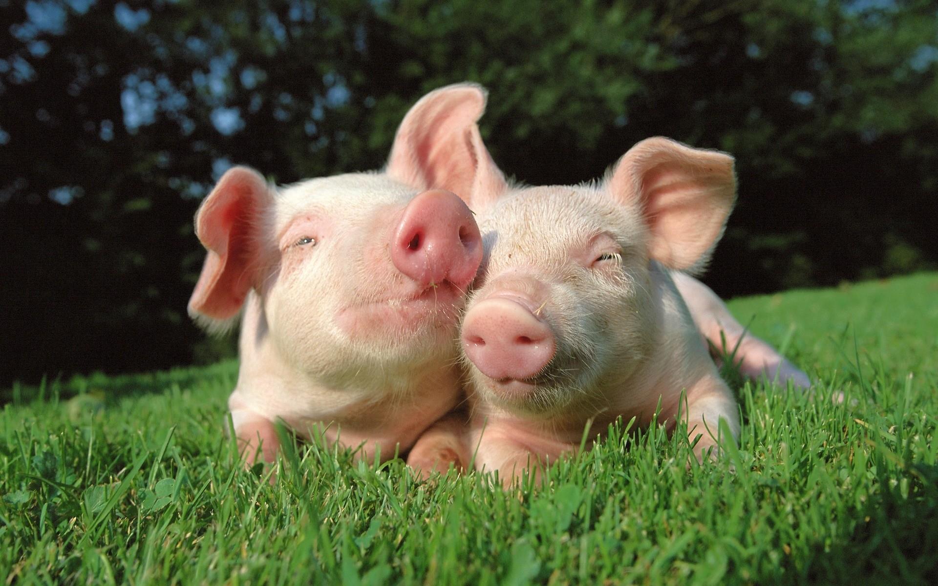 HD Wallpaper   Background ID:115554. Animal Pig