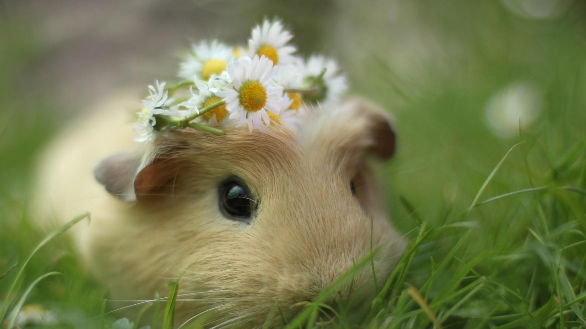 Beautiful Guinea Pig Desktop Widescreen Image
