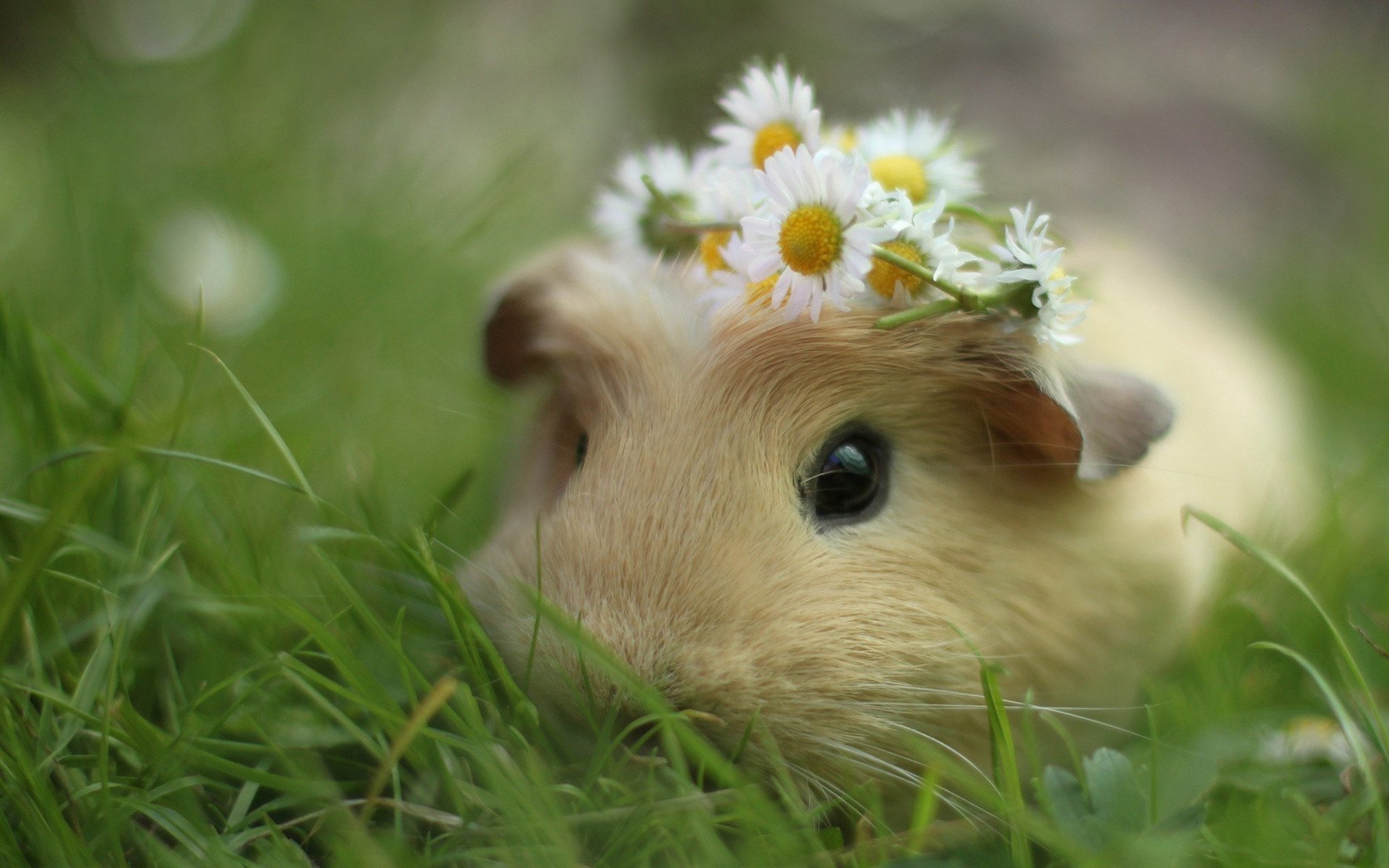 Guinea Pig Computer Wallpapers, Desktop Backgrounds 1920×1080 Pictures Of  Guinea Pigs Wallpapers (