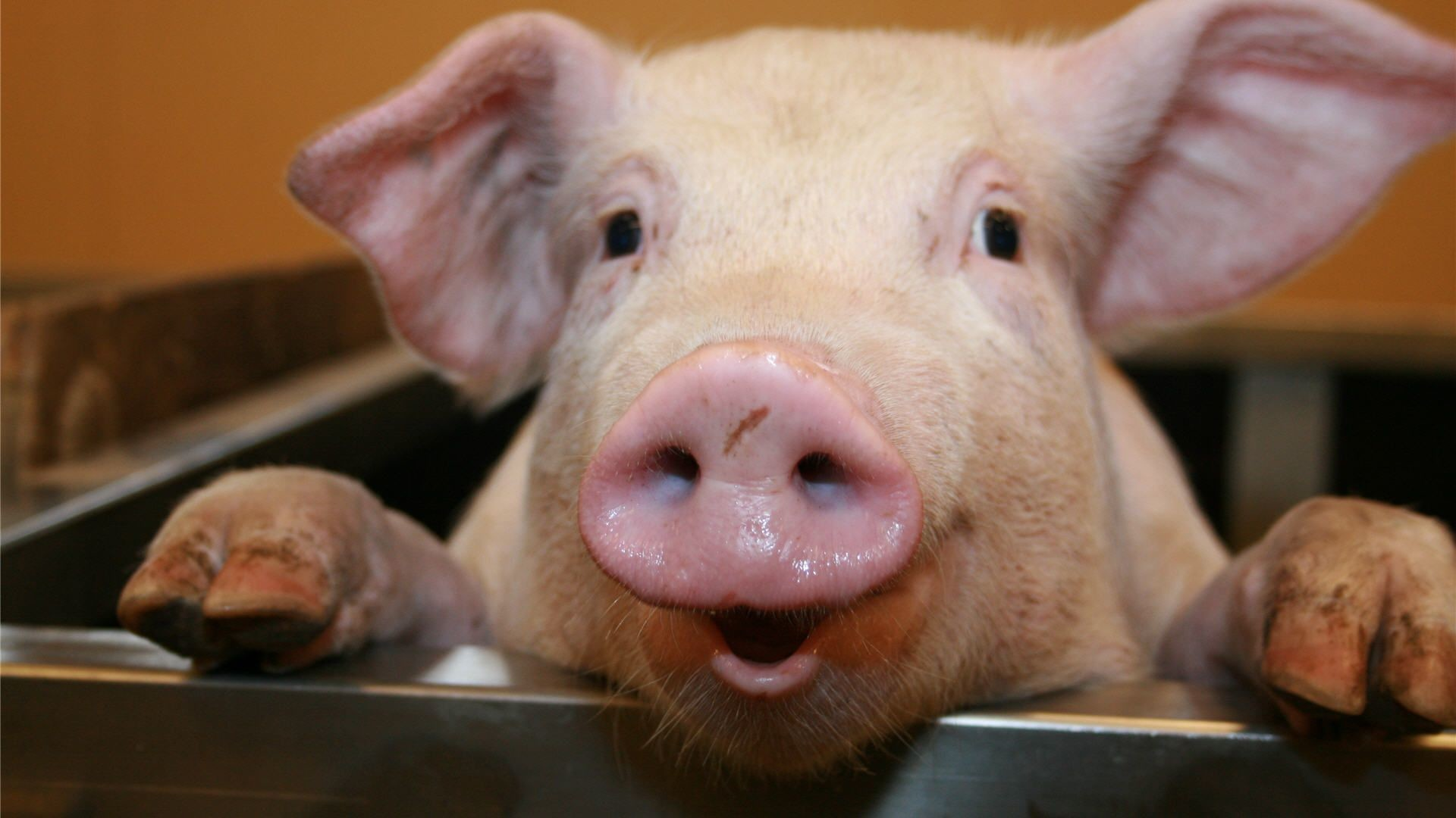 … funny pig wallpaper wallpapers home …