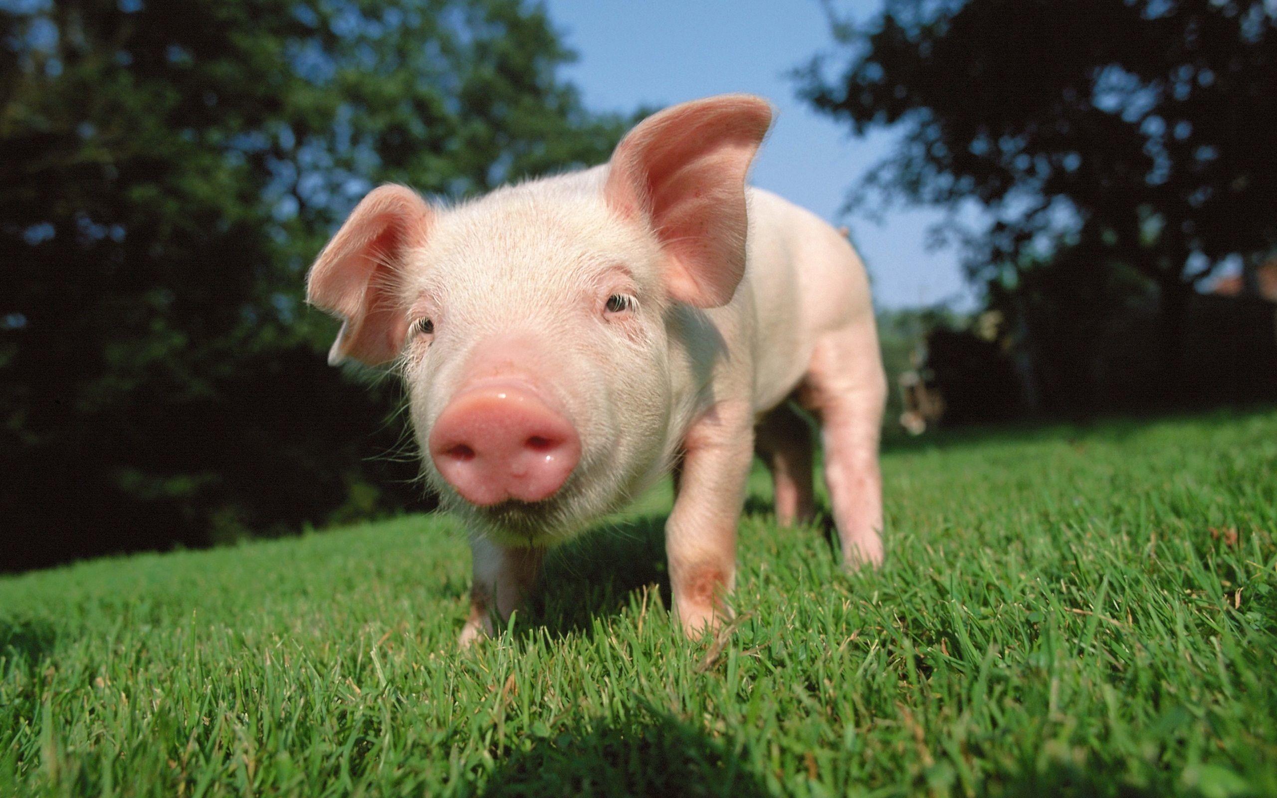 June 10, 2017: Pigs Wallpapers, 2560×1600