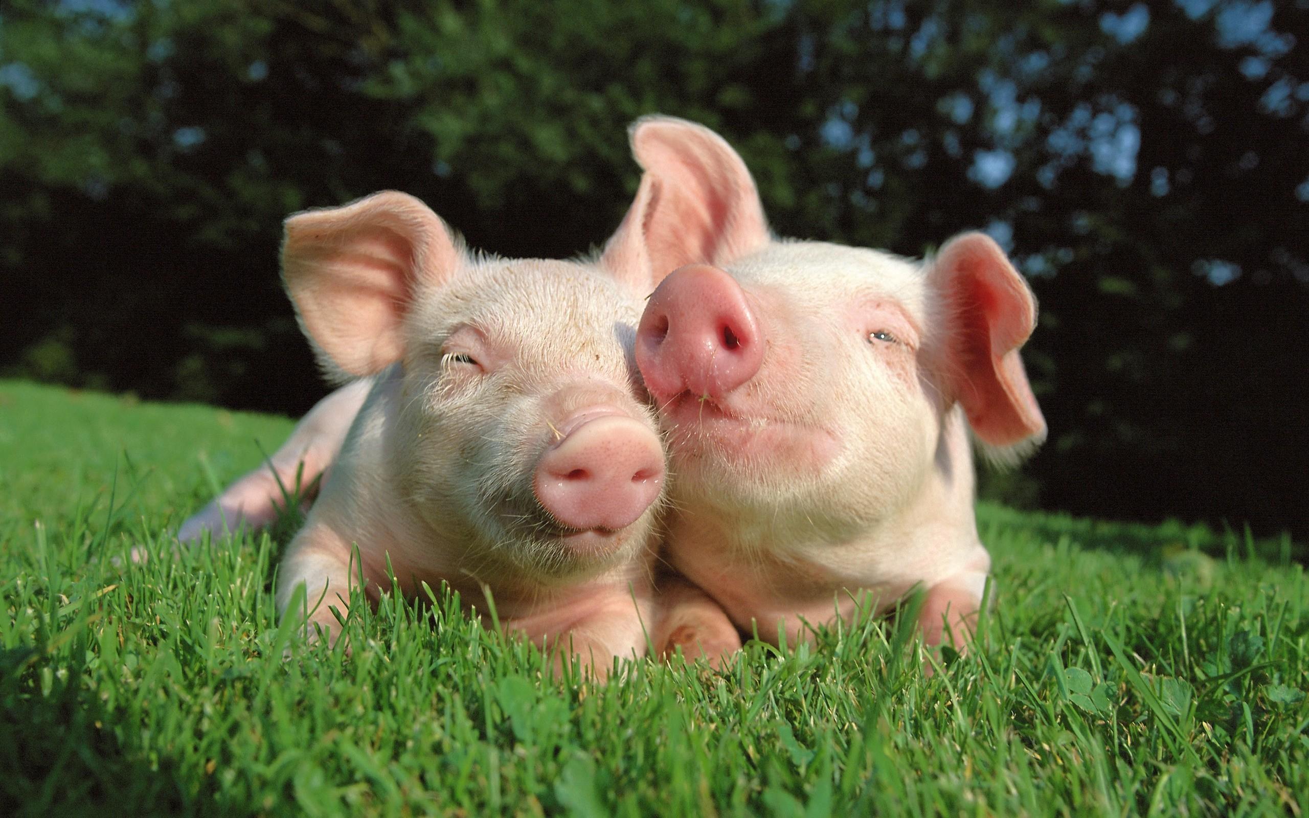 A Cute Baby Pig Wallpaper