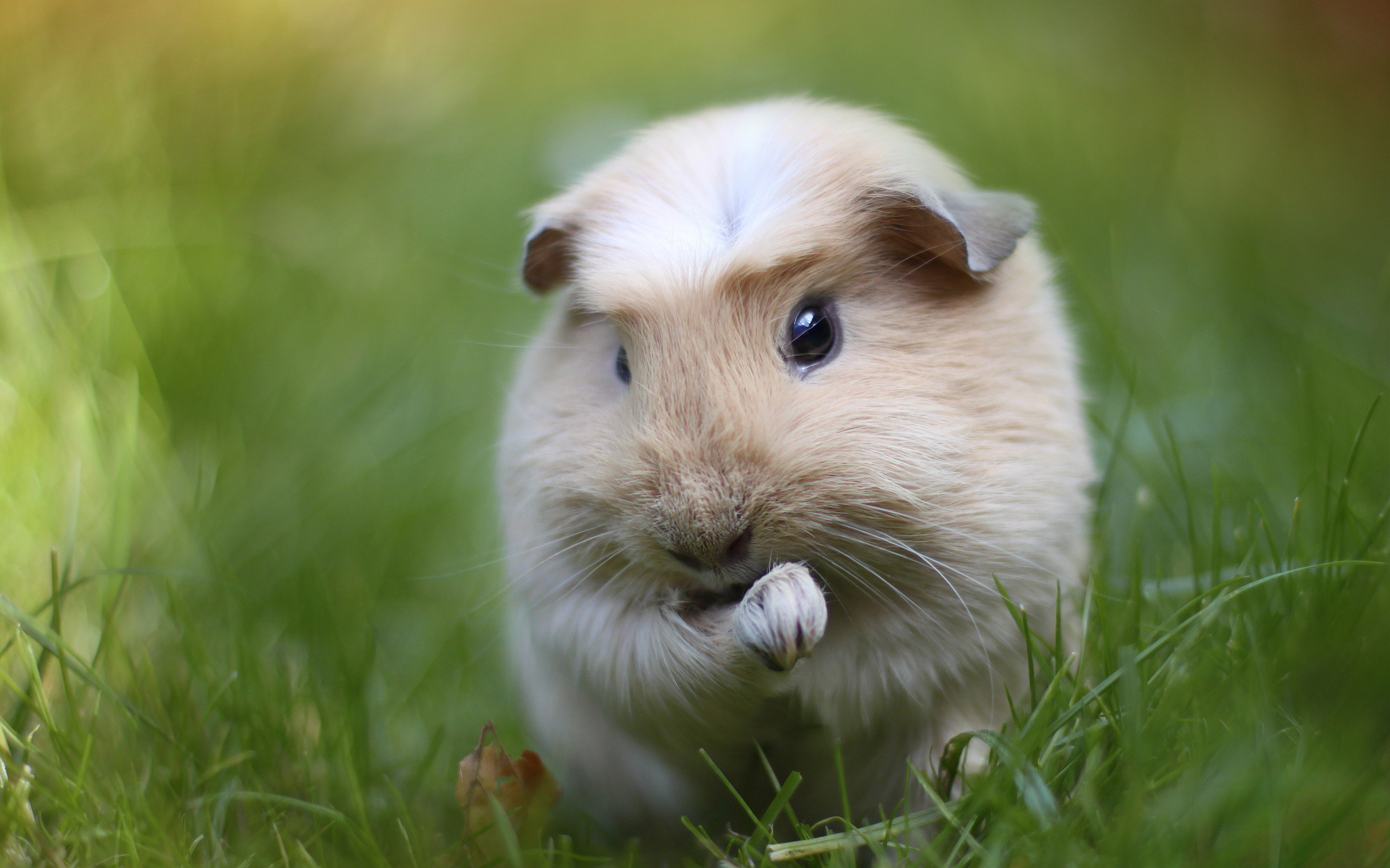 Pictures Of Guinea Pigs wallpapers (45 Wallpapers)