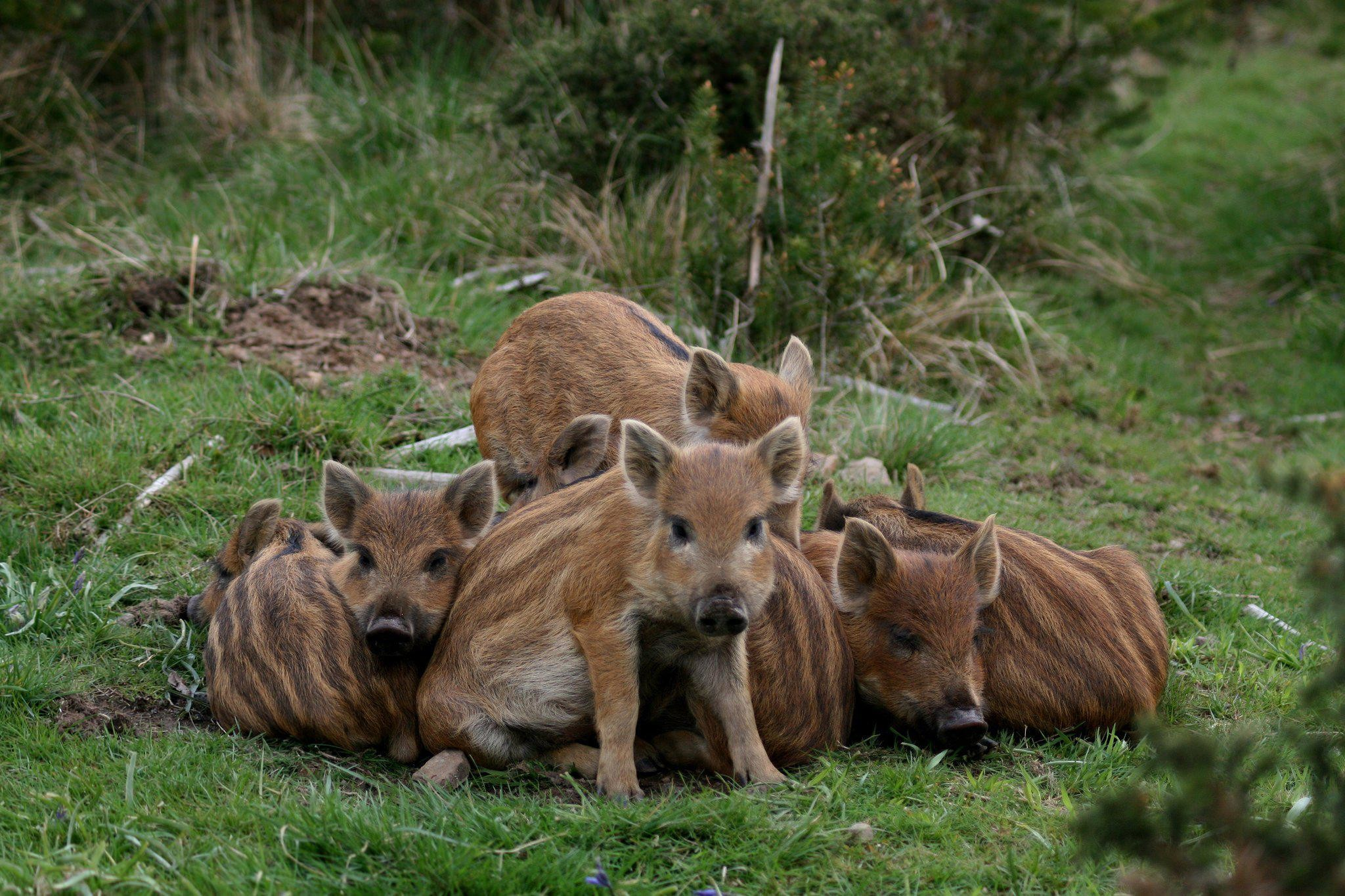 Pigs Wild Boars Baby wide Mobile