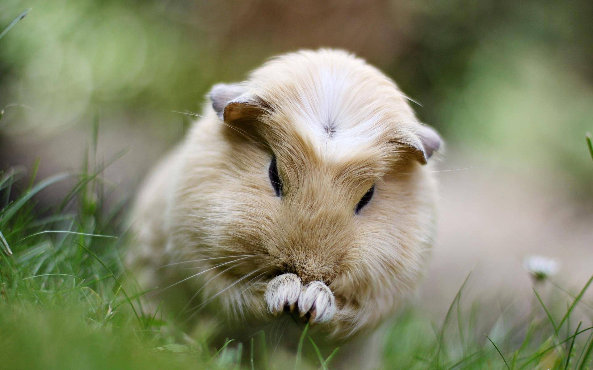 Guinea Pig Wallpapers Pictures Guineapigowner Com
