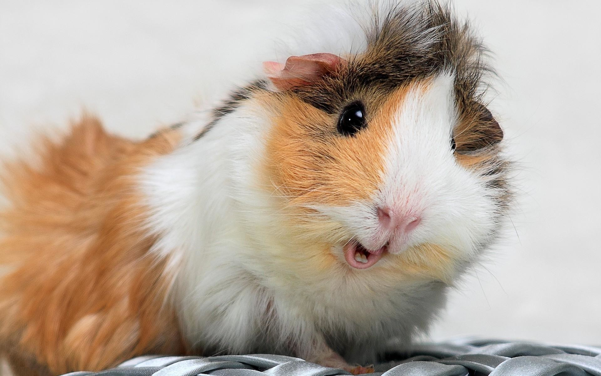 guinea pigs wallpaper hd – Buscar con Google