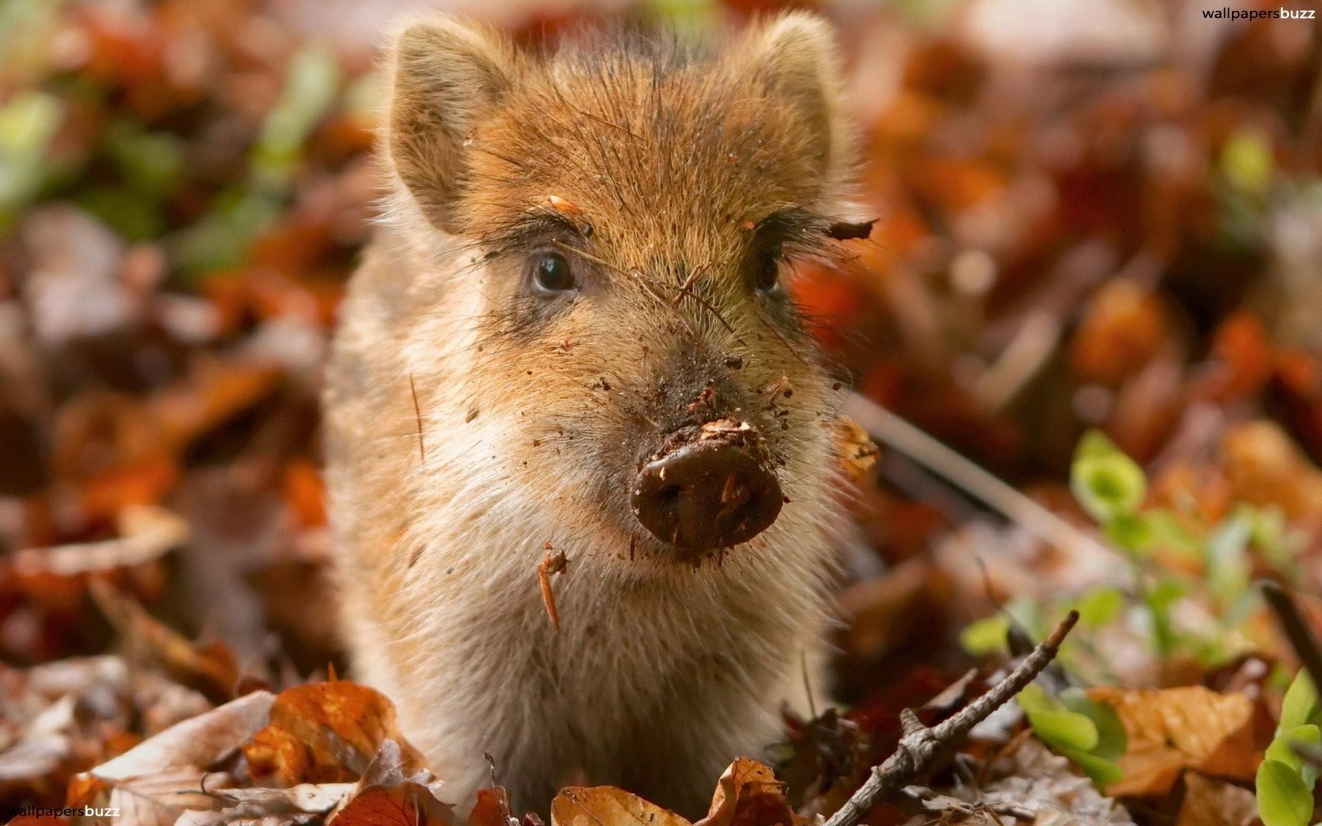 Little brown pig