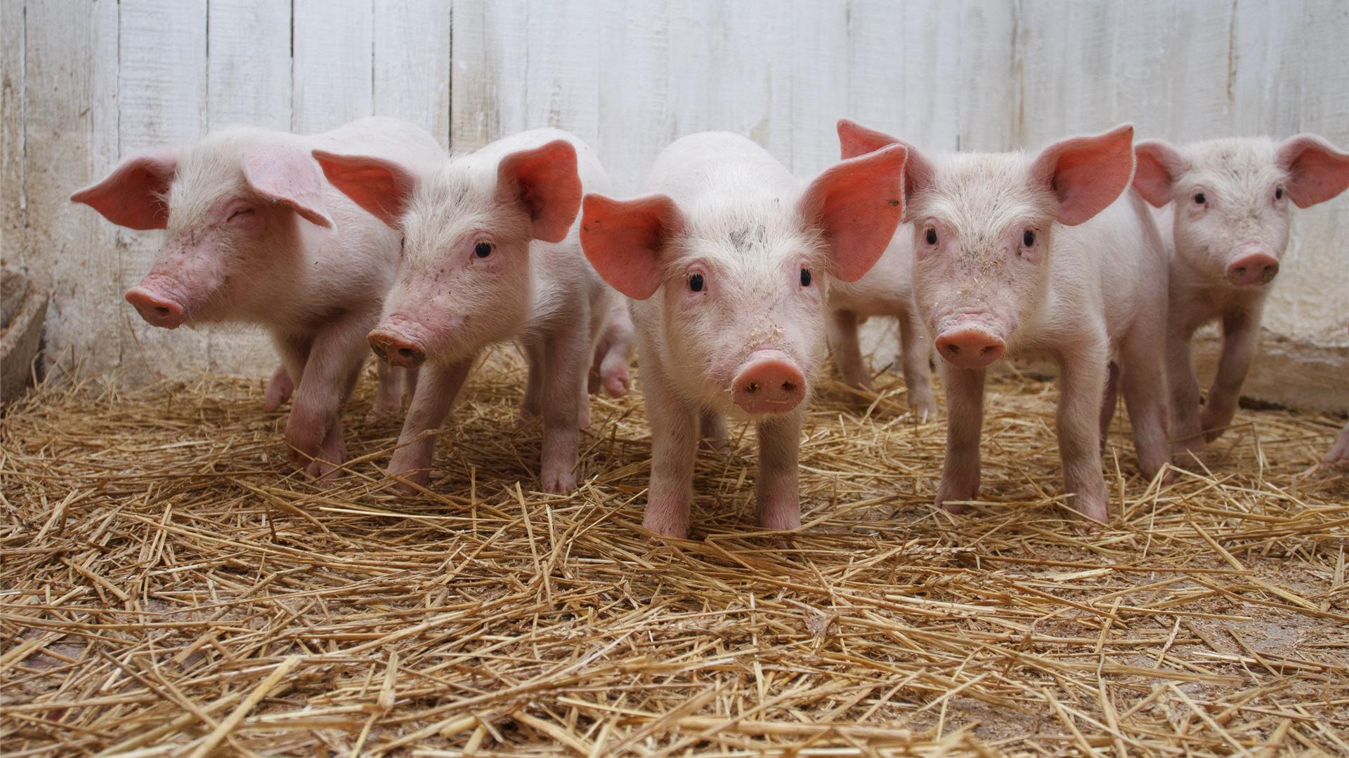Pigs Desktop Wallpapers