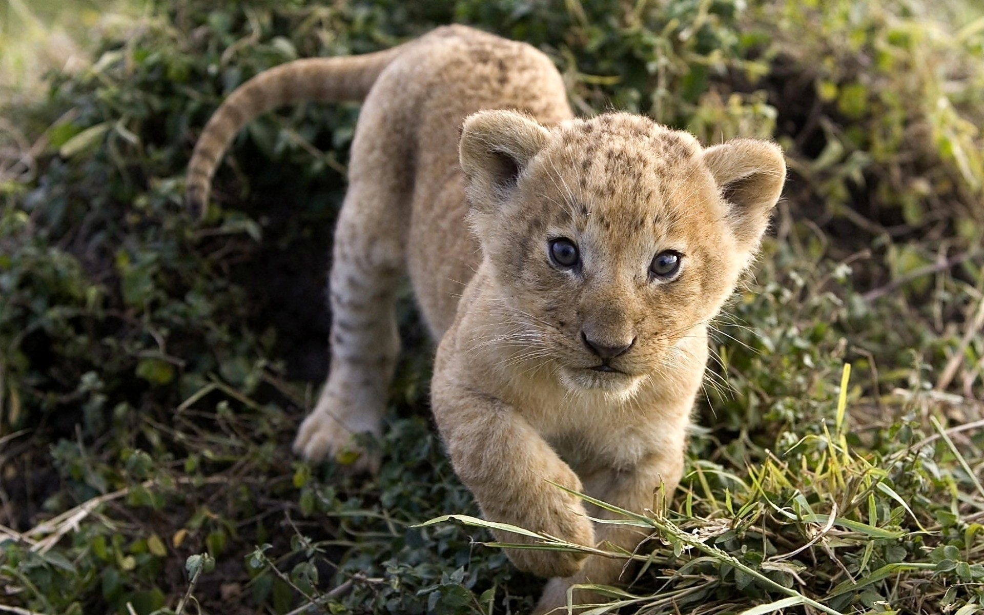 Baby Lion Wallpaper