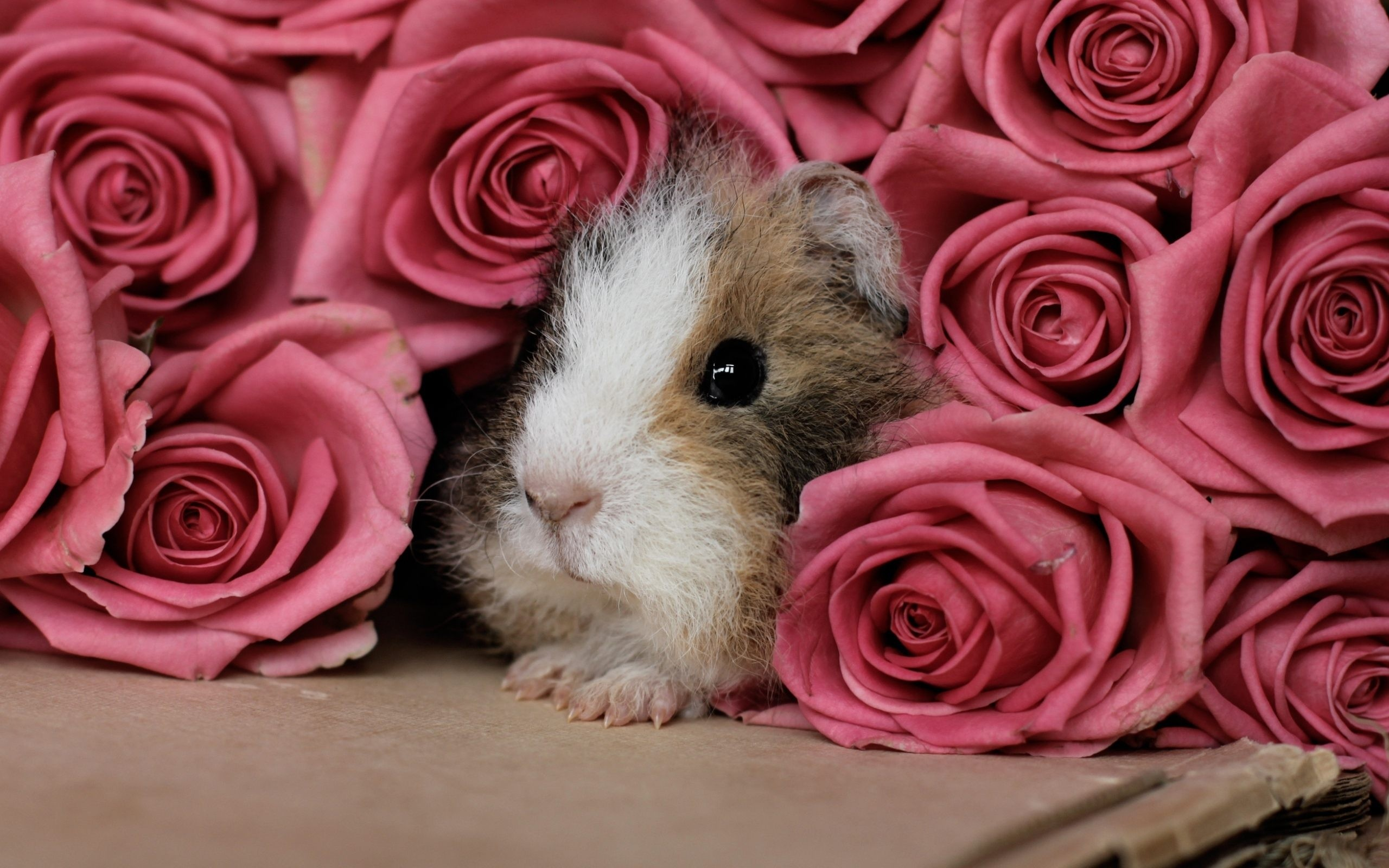 Guinea Pig animal rose pink flower wallpaper …