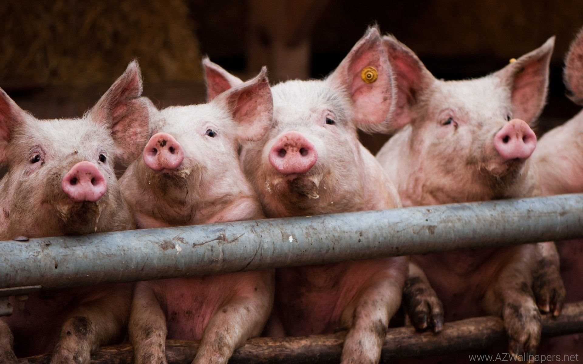 Pigs Photo Wallpapers, Pictures With Pigs