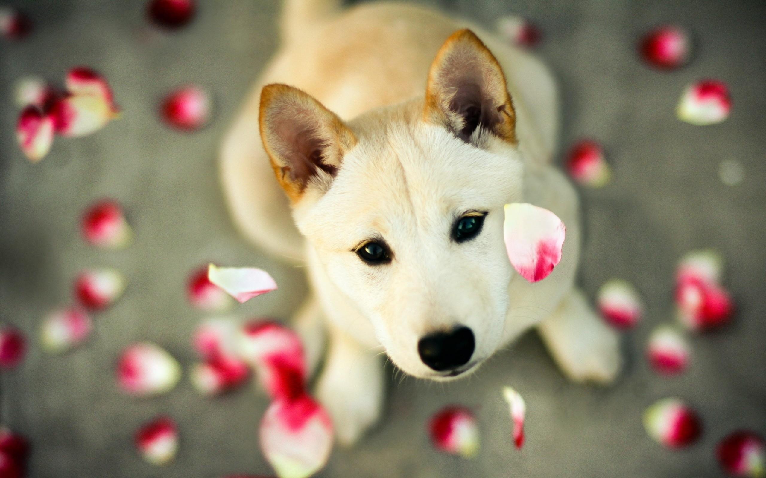 Cute Dog with Petals, Husky Dog with rose petals.