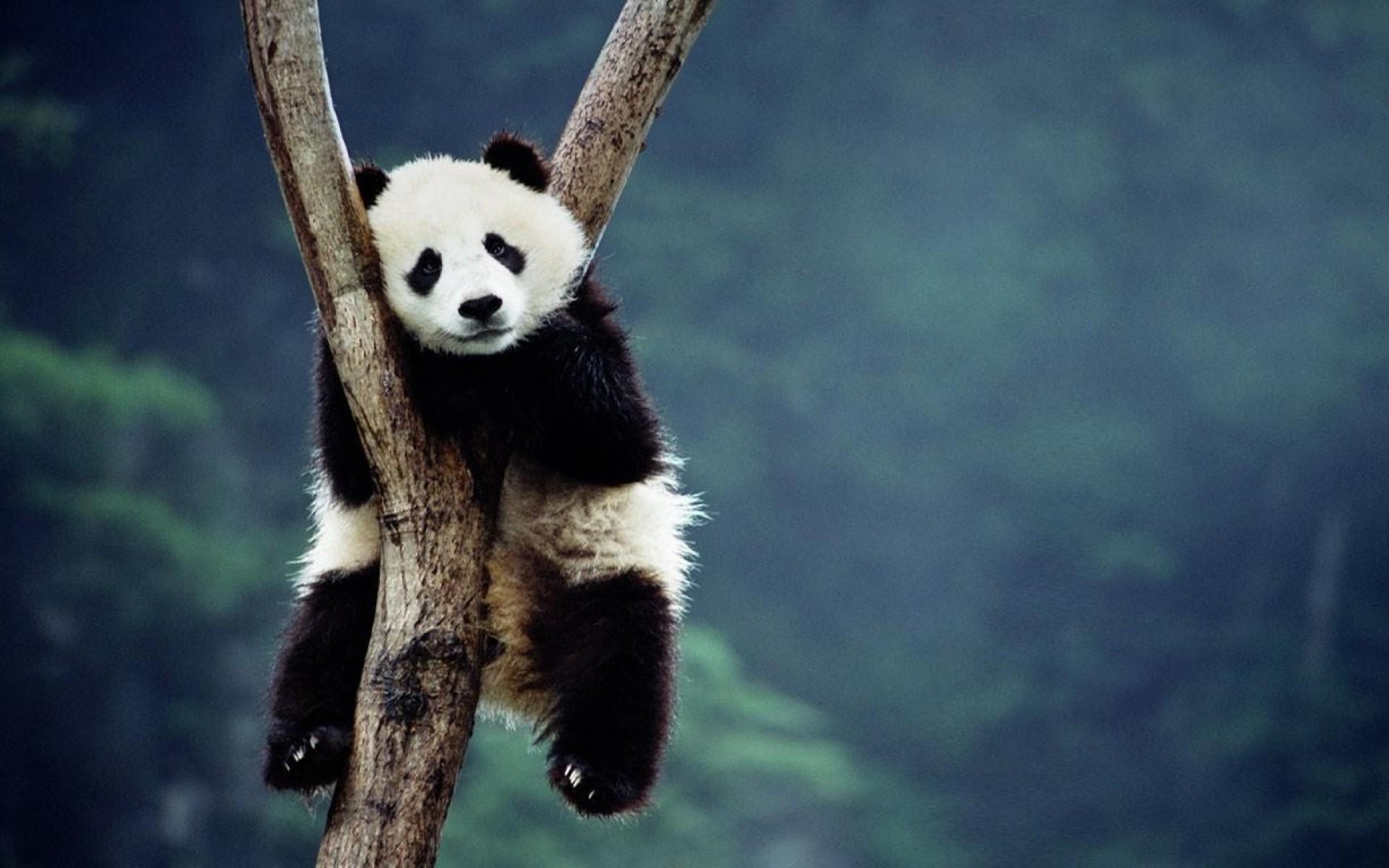 Baby Panda HD Desktop Wallpapers 9466 – Amazing Wallpaperz