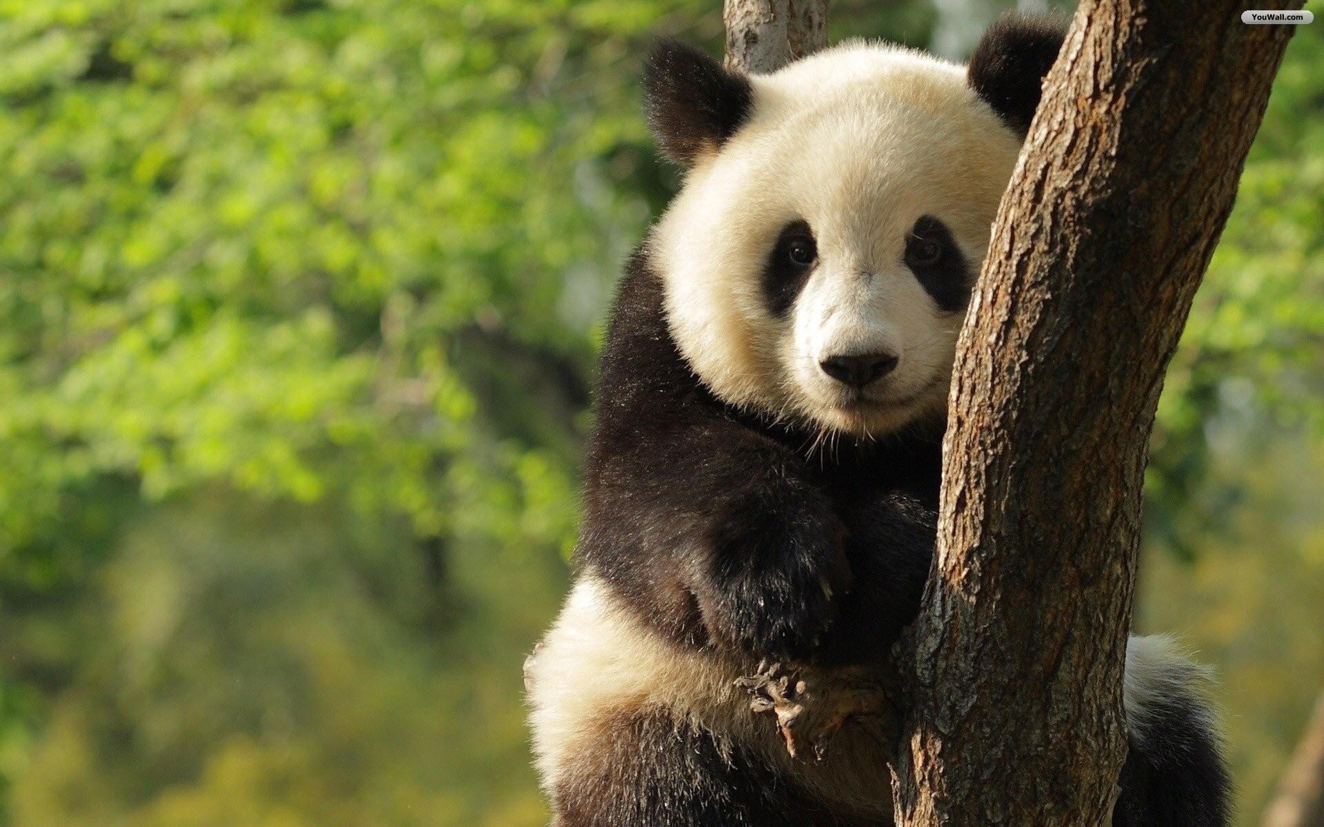 Lovely Panda Wallpaper
