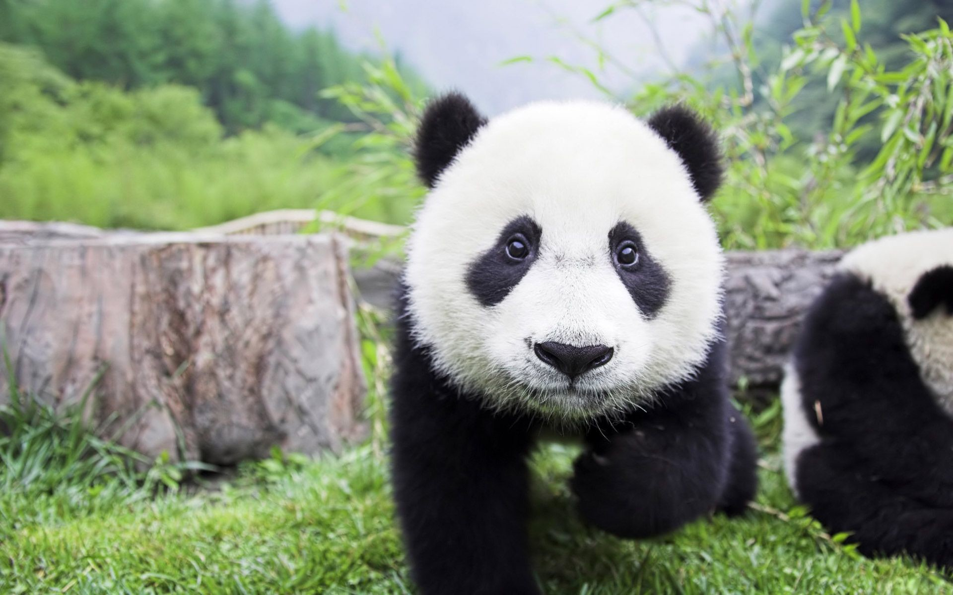 Full HD p Panda Wallpapers HD, Desktop Backgrounds Panda Images Wallpapers  Wallpapers)