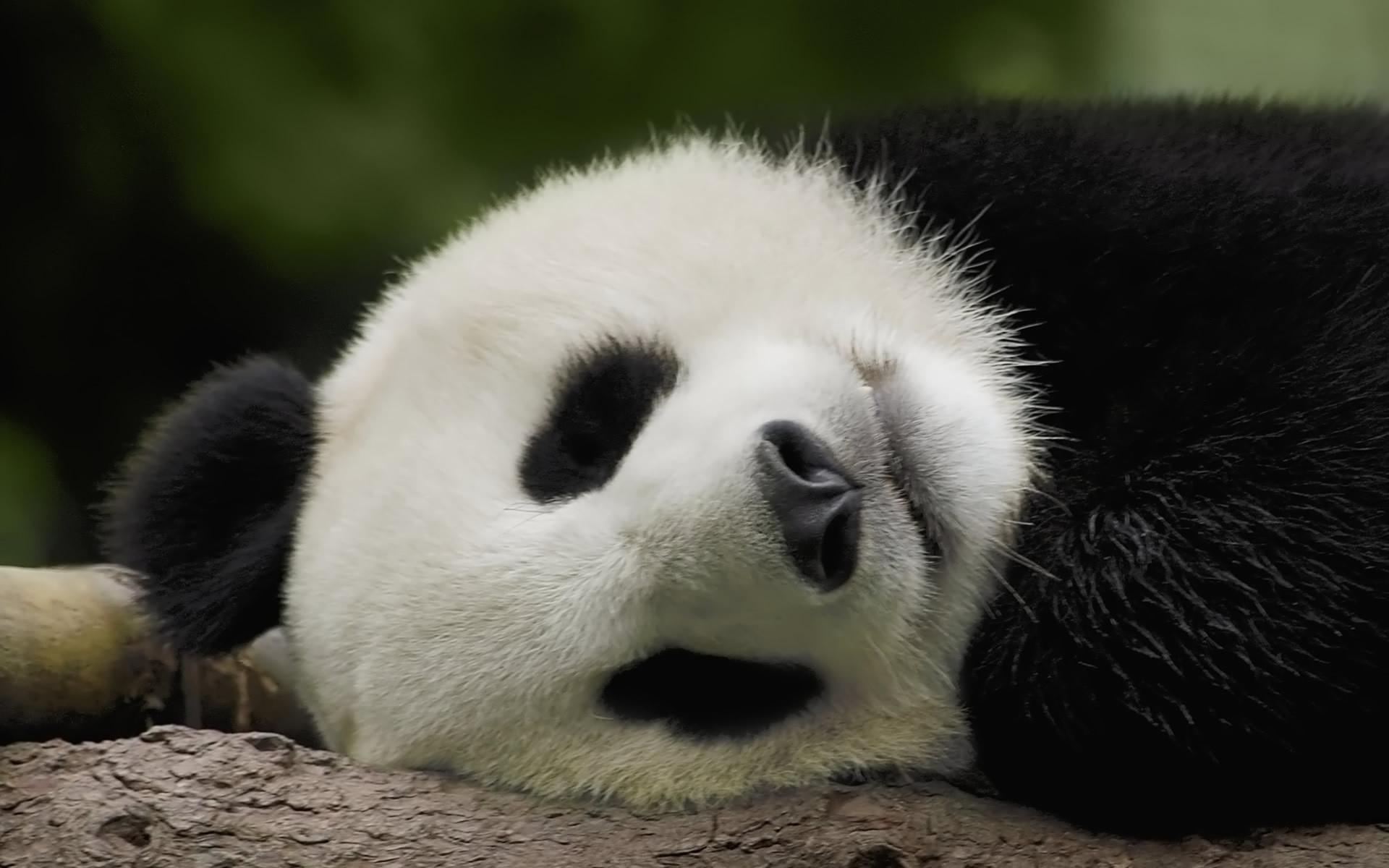 Pin by Kai Qin/Christian Gonzales on Pandas   Pinterest   Panda and Animal