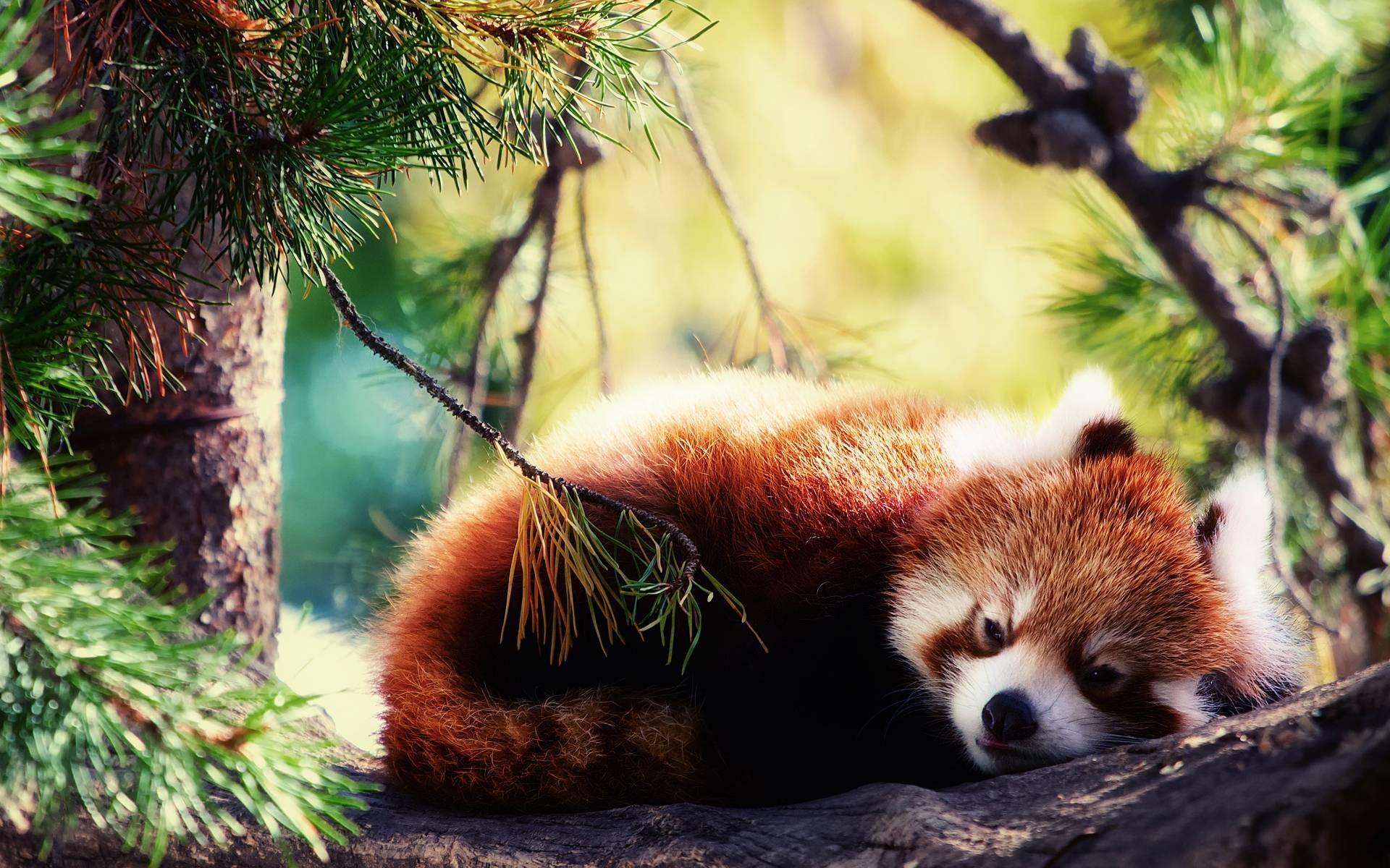 Red Panda HD Wallpaper   Red Panda Images   Cool Wallpapers