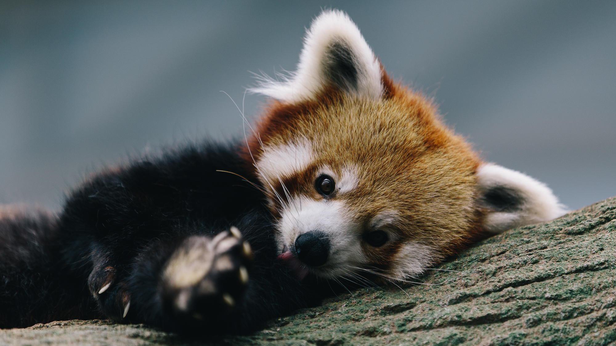 red panda wallpaper 878653 red panda wallpaper 878607 red panda .