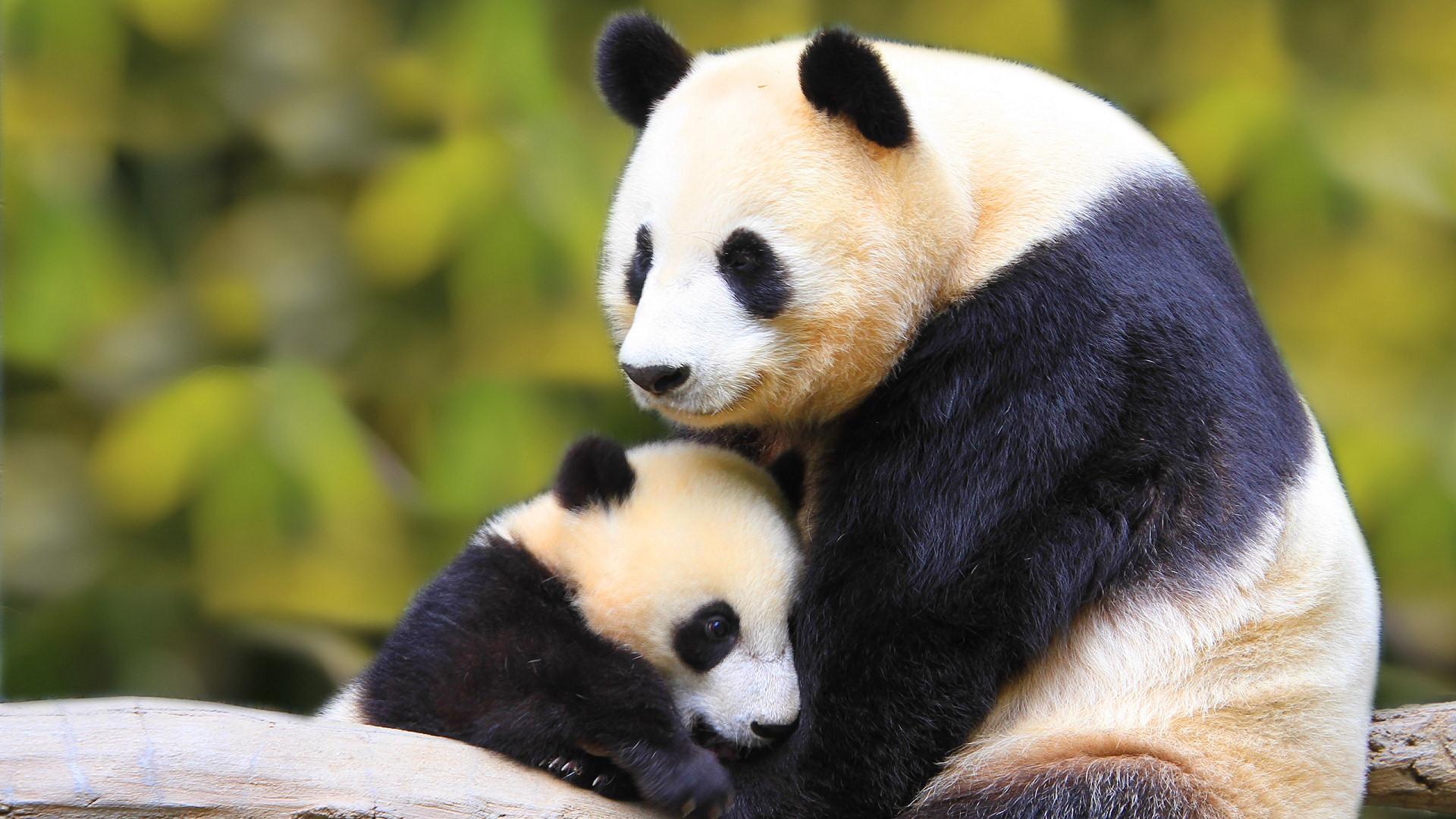 170 Panda HD Wallpapers Panda Wallpaper Hd 1920×1080