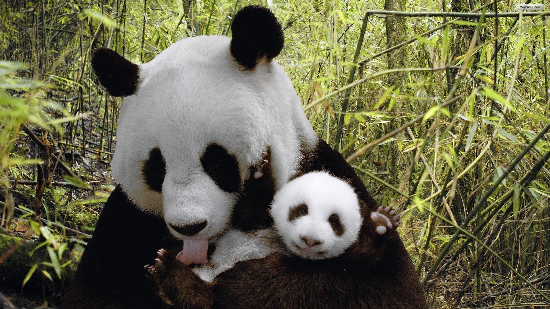 Panda Bears In Love Wallpaper – ImgMob