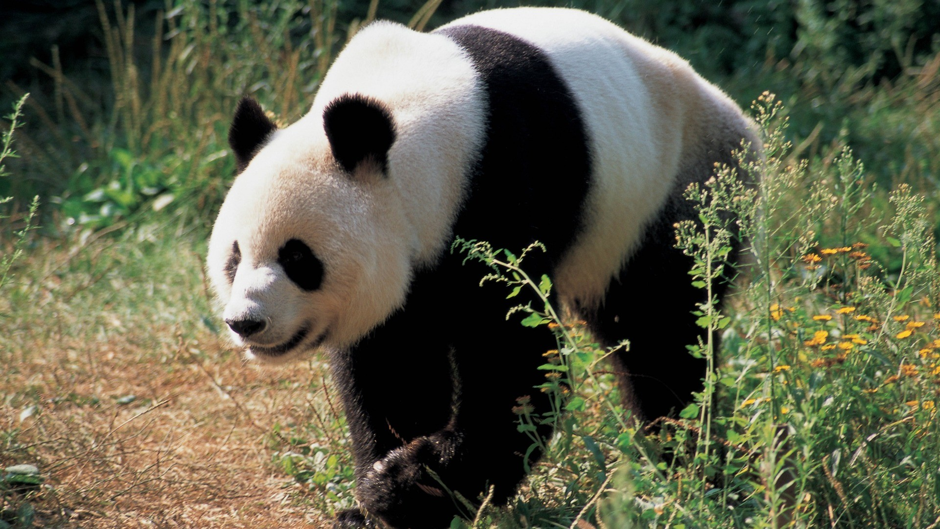 Panda Rent Too High US Zoos Say National Geographic