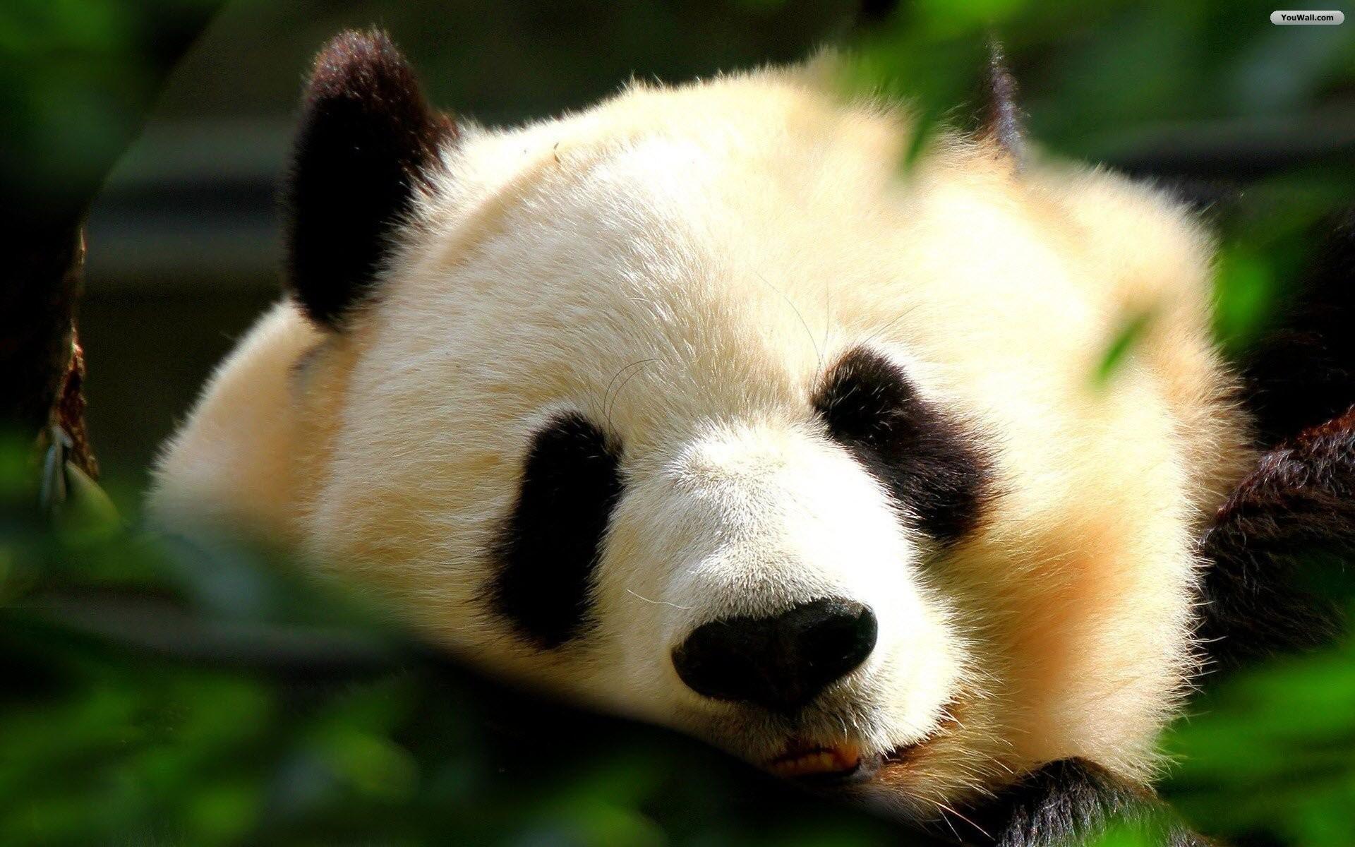 Adorable Panda Wallpaper