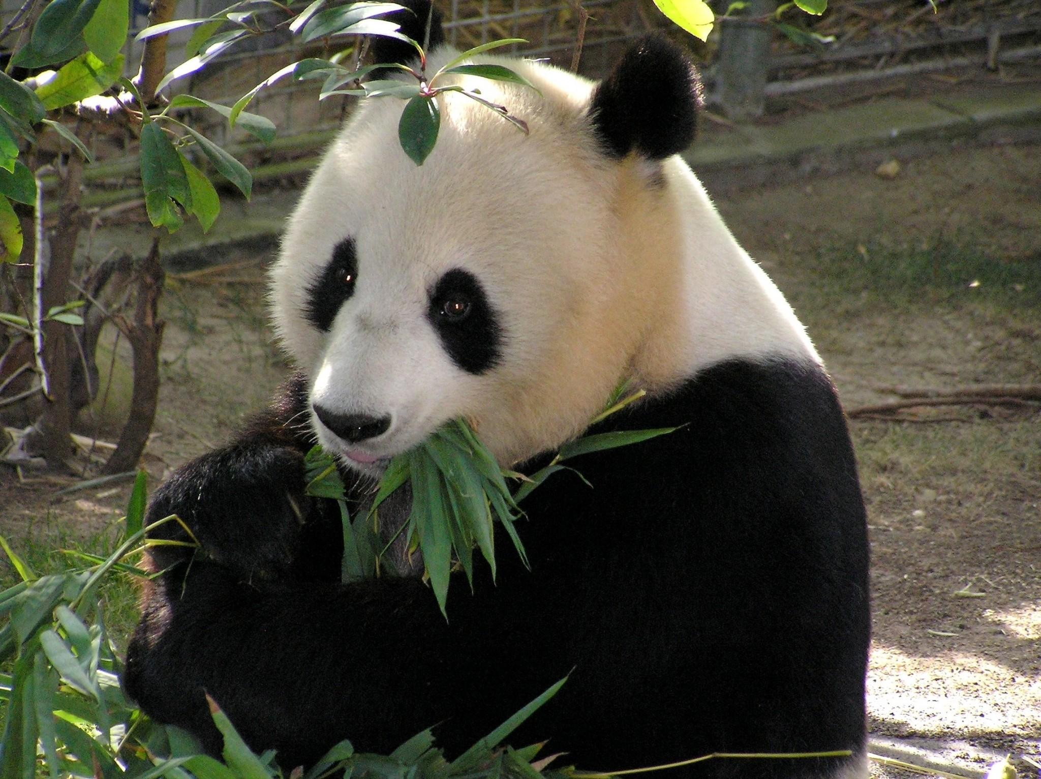 panda computer desktop backgrounds