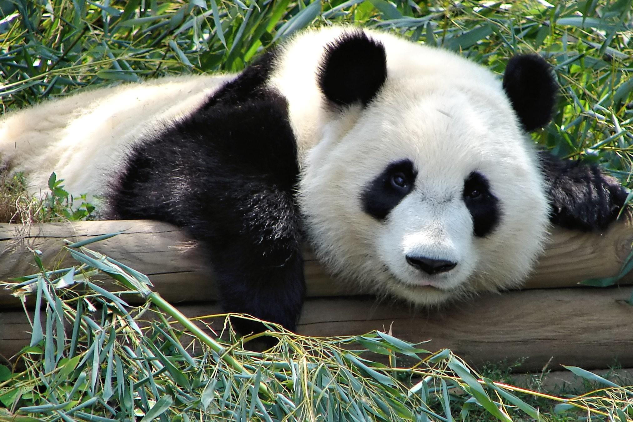 Pandas wallpapers for desktop