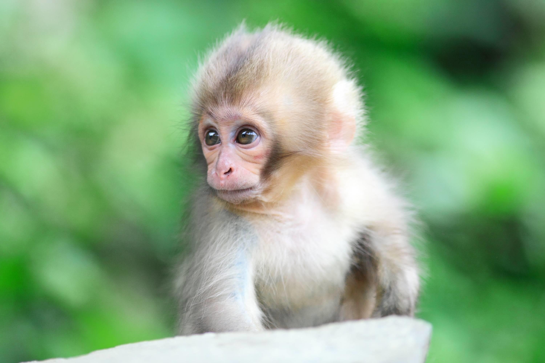 baby monkey widescreen wallpaper 6477