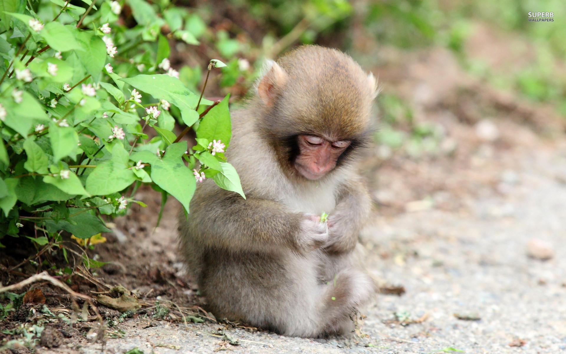 High Resolution Monkey Cute Baby Wallpaper Full Size .